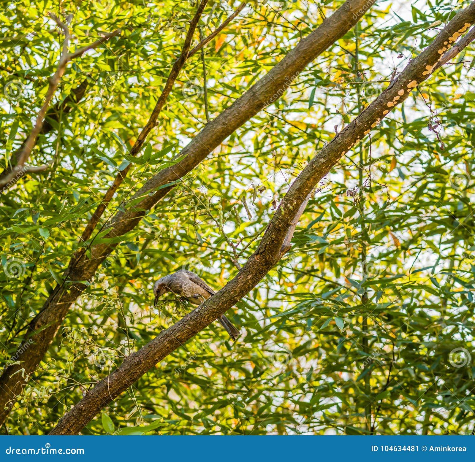 Download Bruin-eared Bulbul Neergestreken Op Een Boomtak Stock Afbeelding - Afbeelding bestaande uit fauna, naughty: 104634481