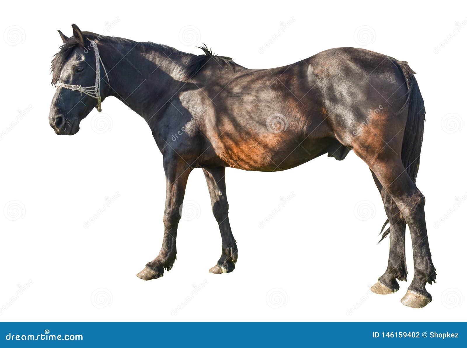 Bruin paard in rustende positie die op witte achtergrond wordt ge?soleerd