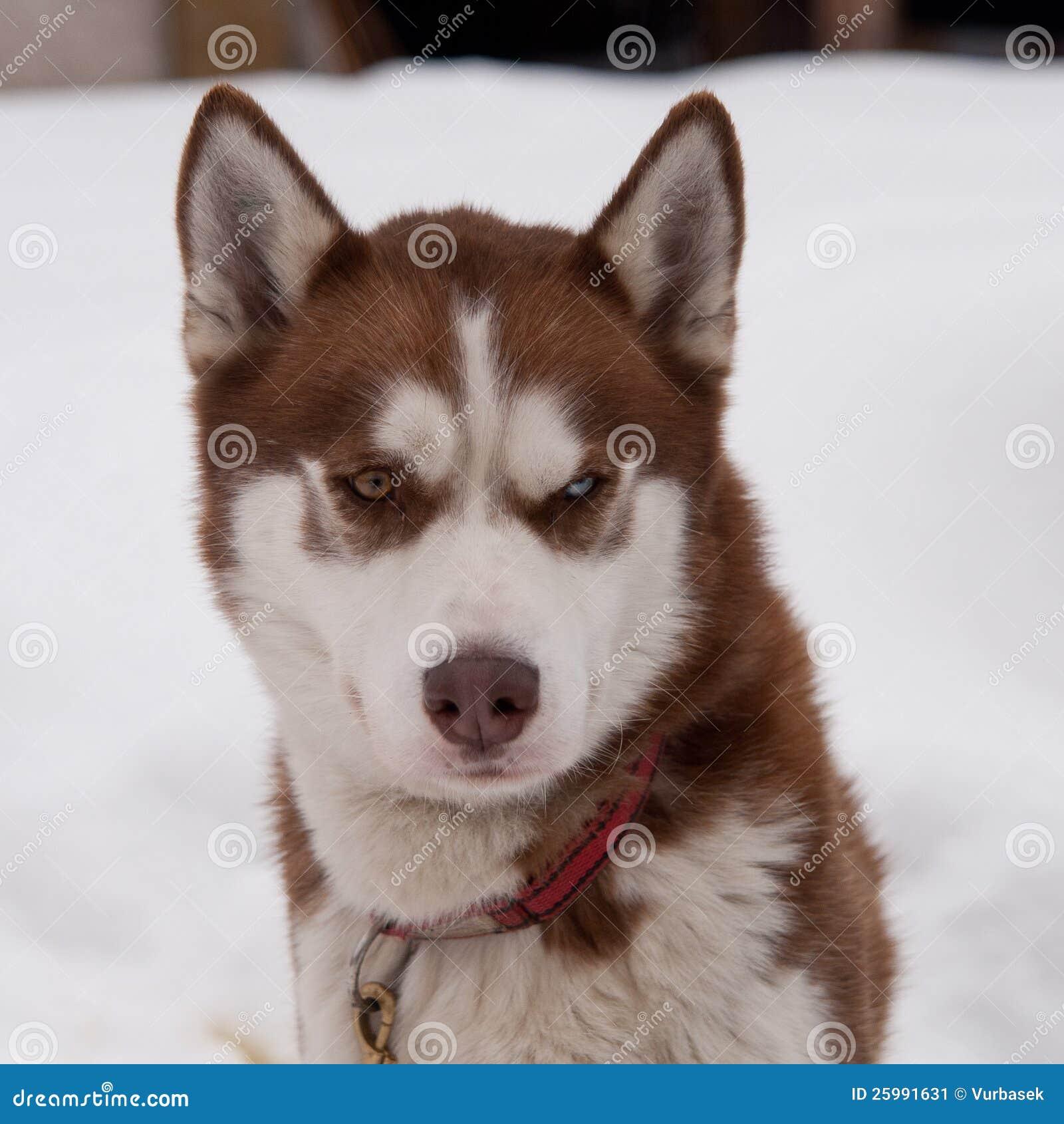 White Husky Dog With Blue Eyes
