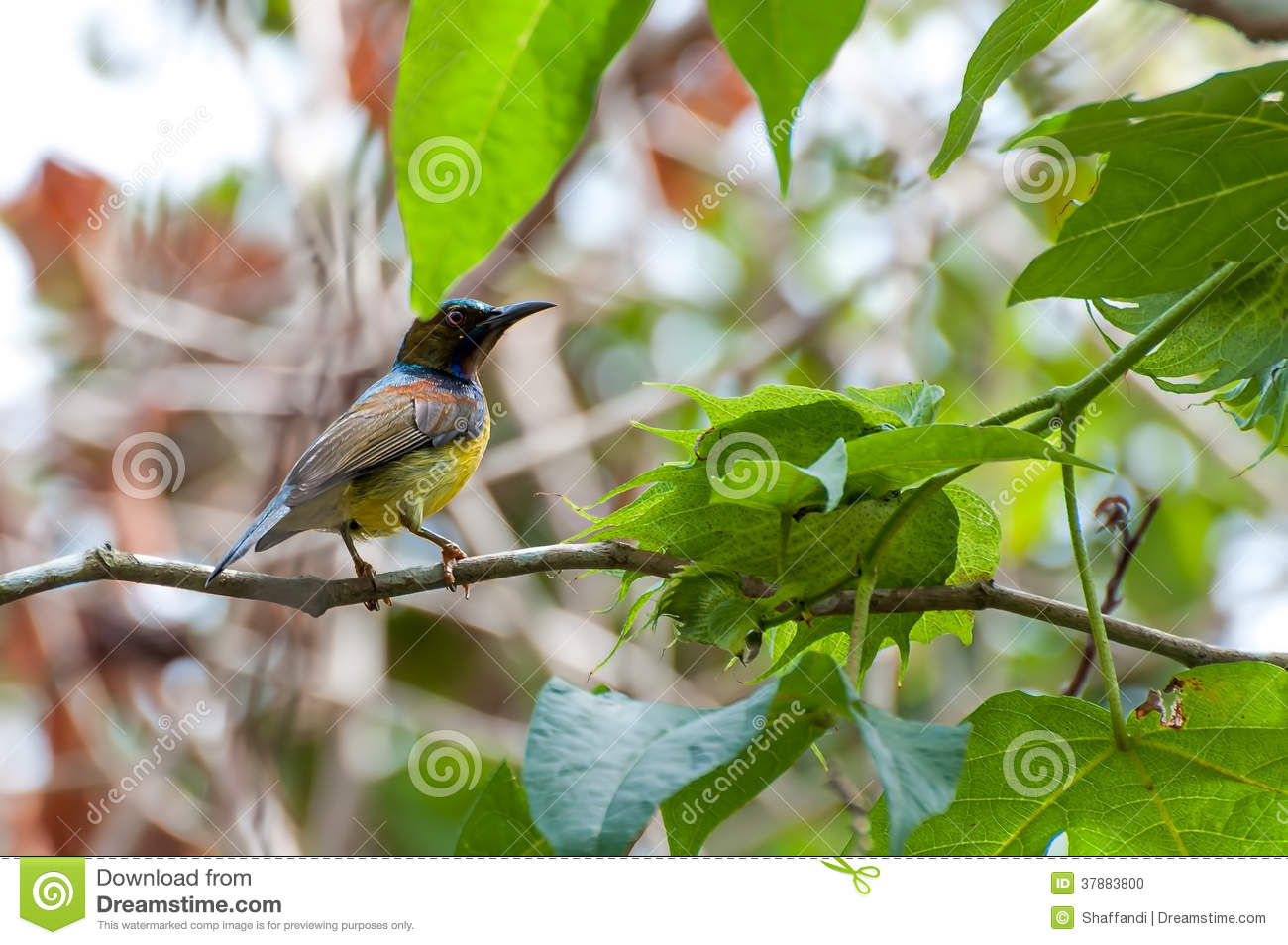 Bruin-Throated Sunbird (Anthreptes-malacensis)