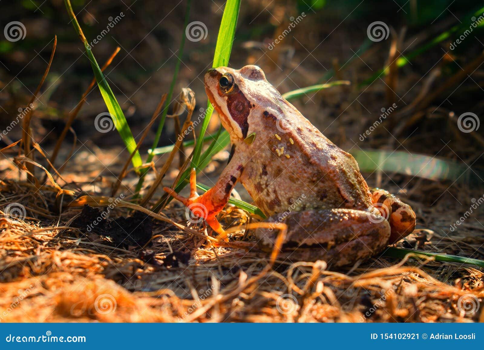 Bruine behendige kikker op bruine grond, achtermening