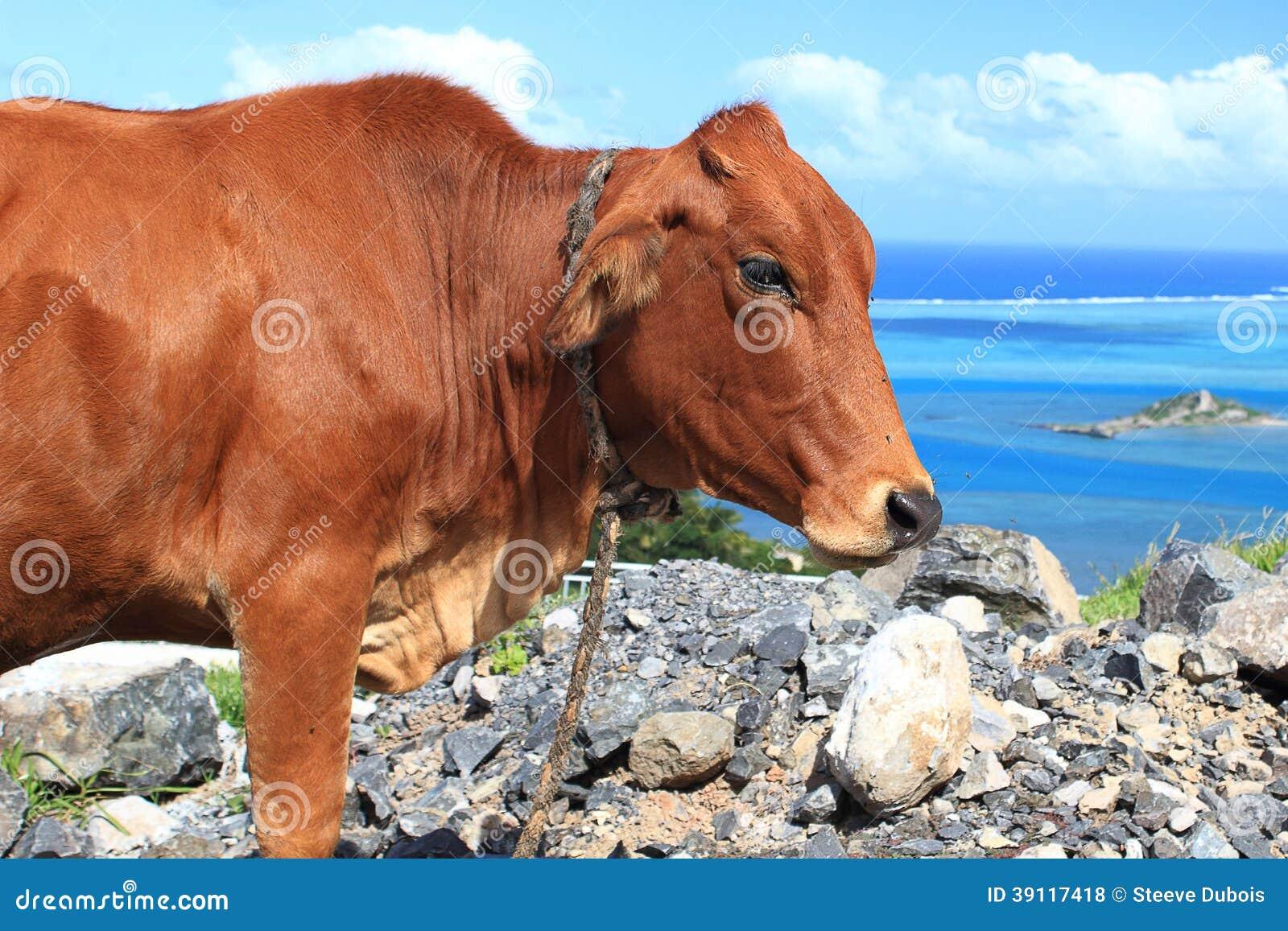 Bruine die koe door vliegen wordt gekweld