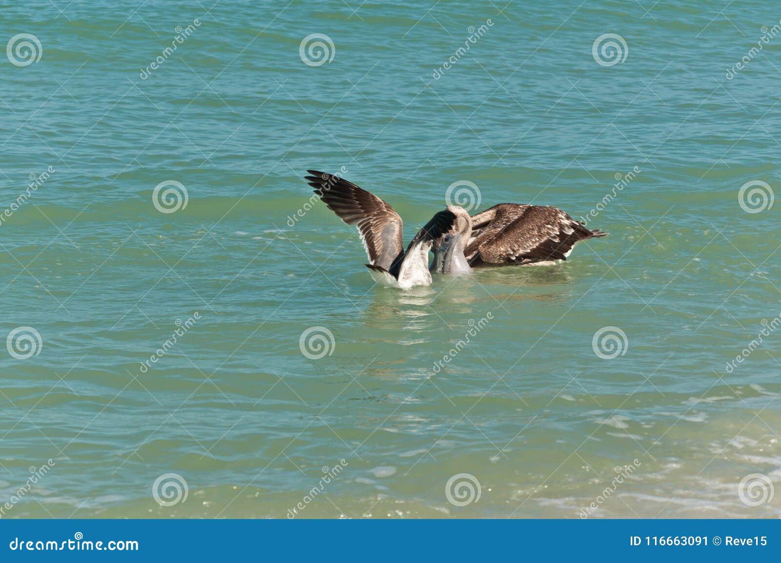 Bruine en pelikaan twee die zwemmen voeden