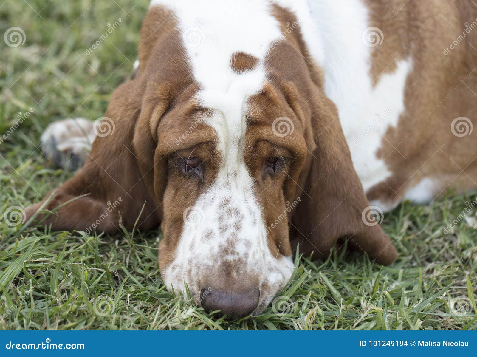 Bruine en Witte bevlekte Basset Hound-Hond