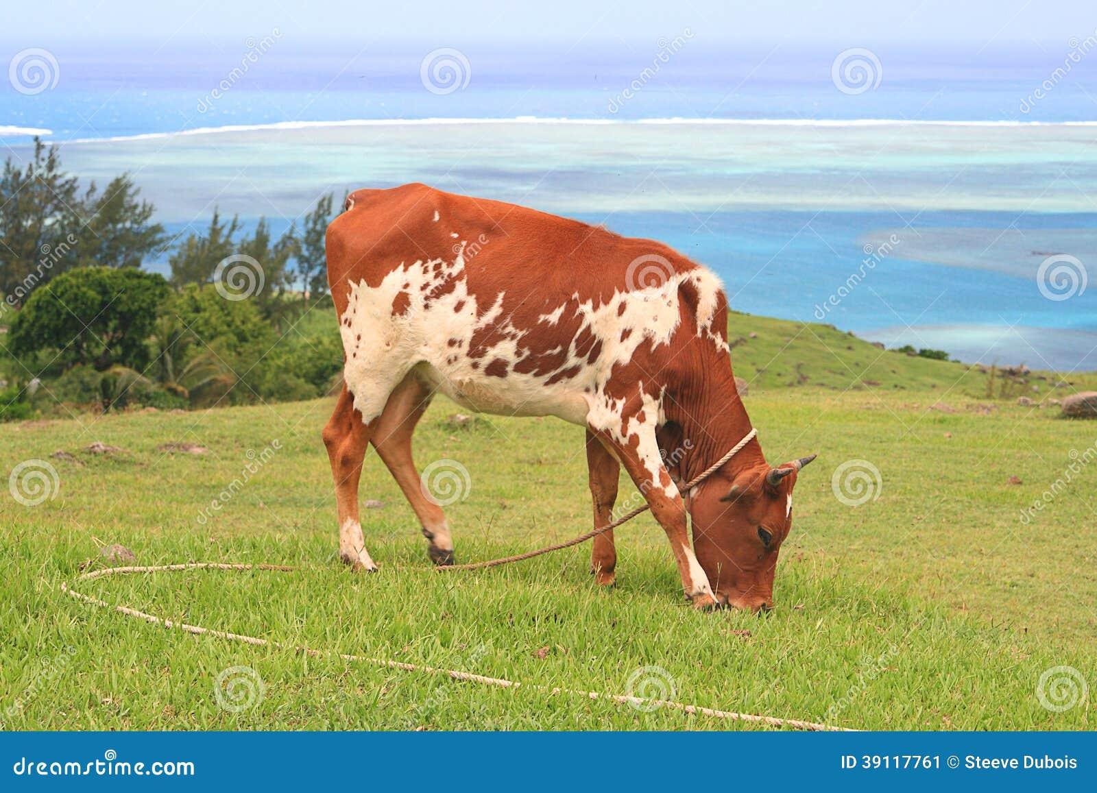 Bruine en witte vaars die gras eten