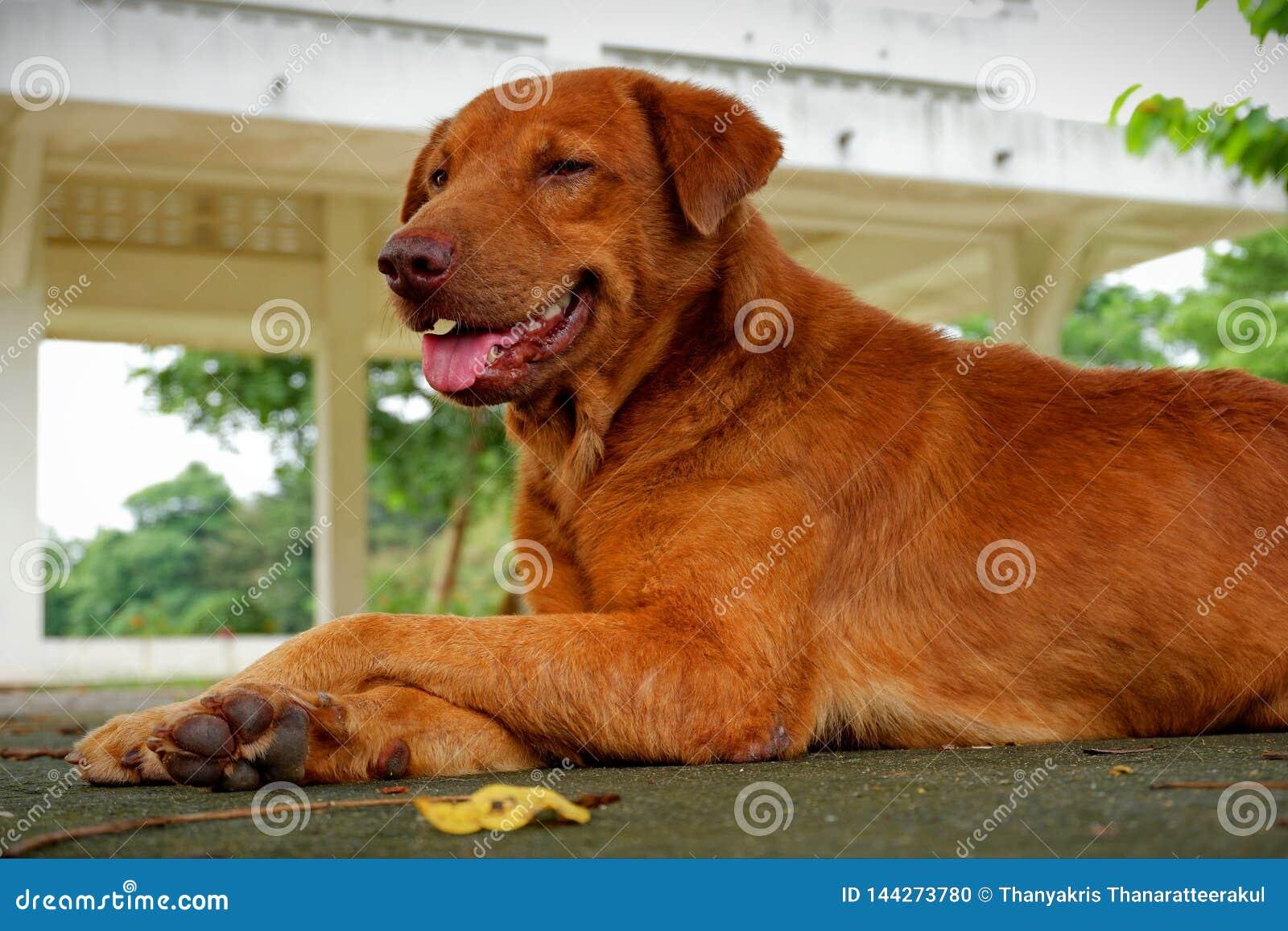 Bruine Goed en slimme hond