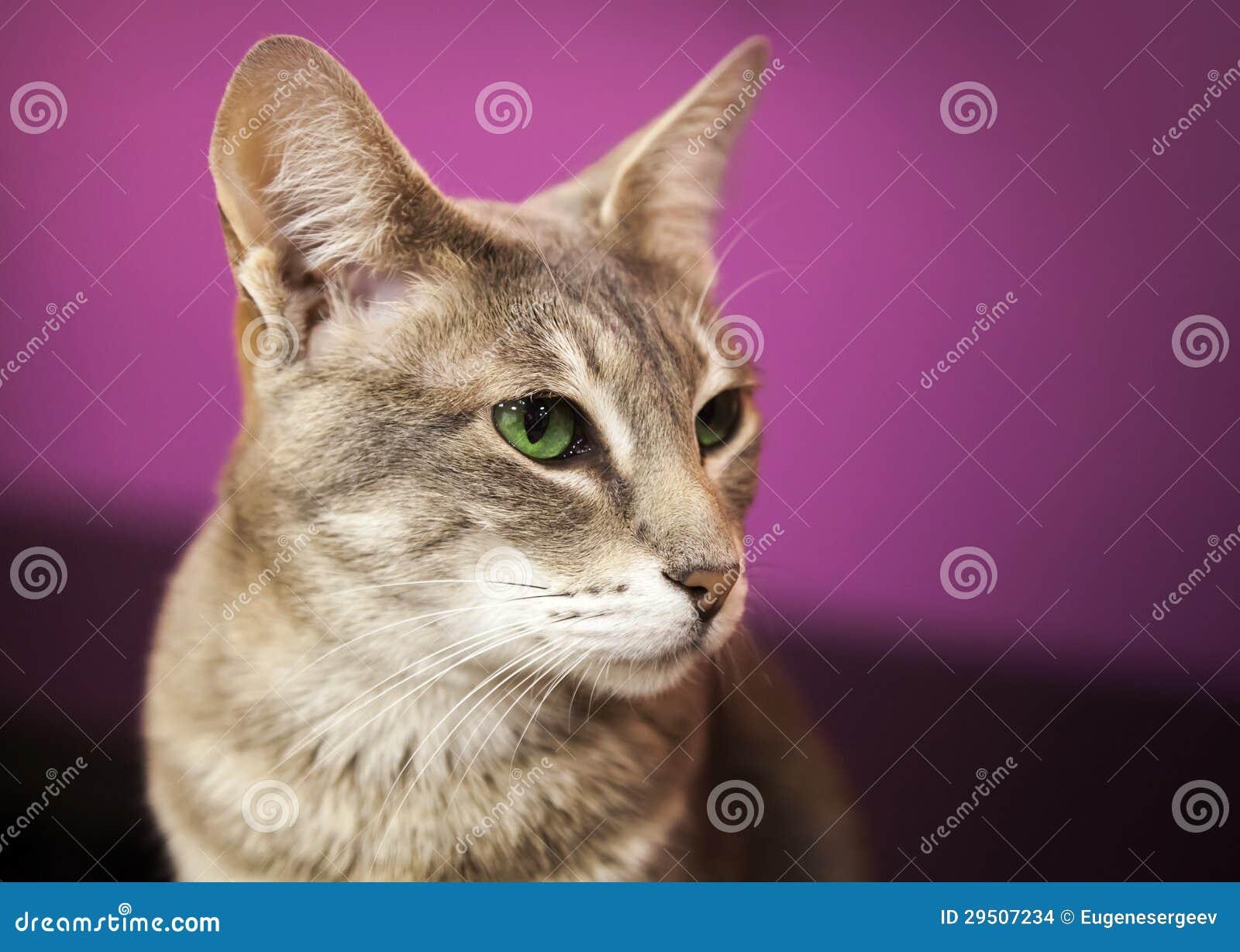 Bruine grijze kortharige kat met groene ogen