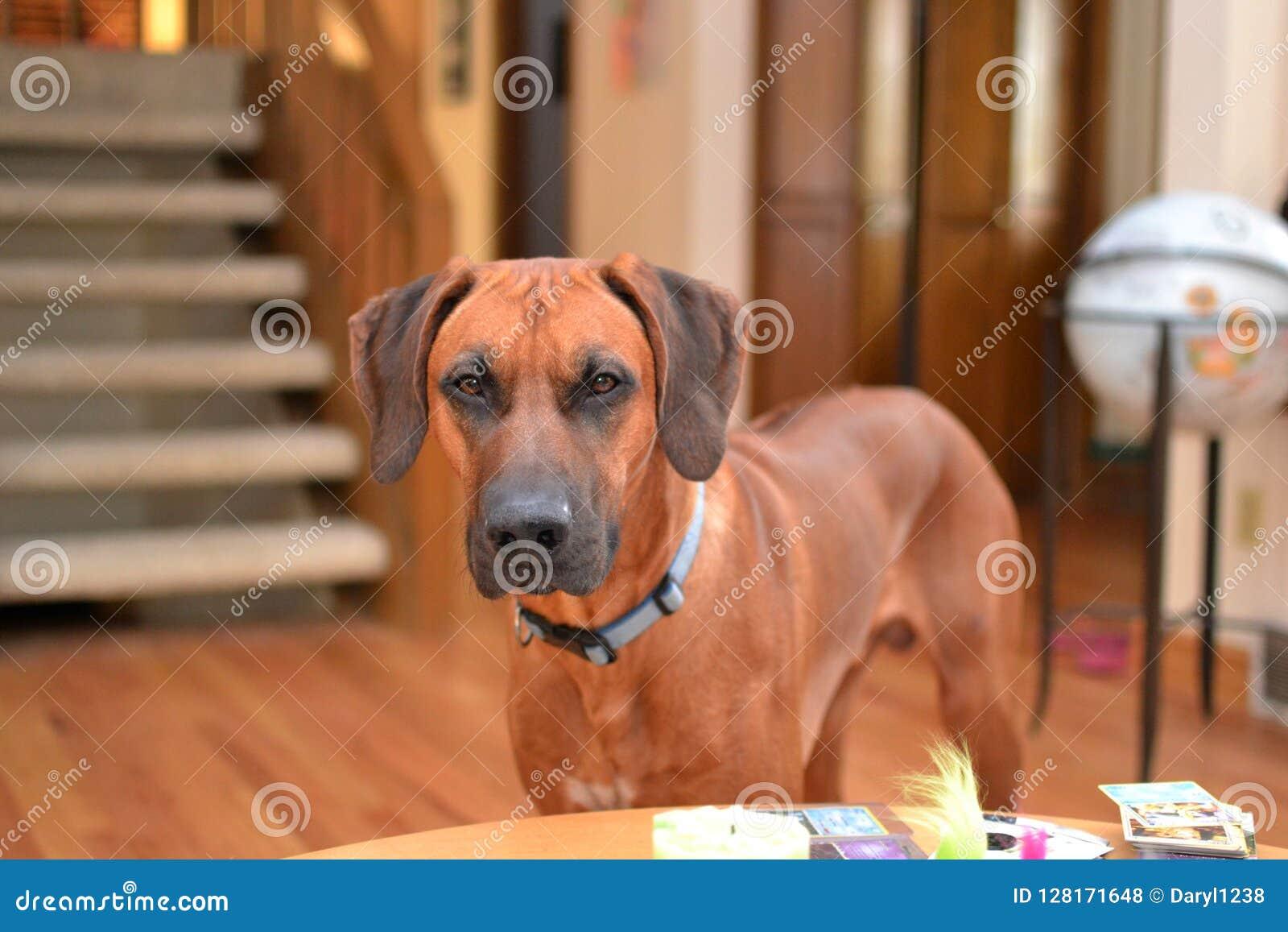 Bruine het puppyhond van Rhodesian Ridgeback