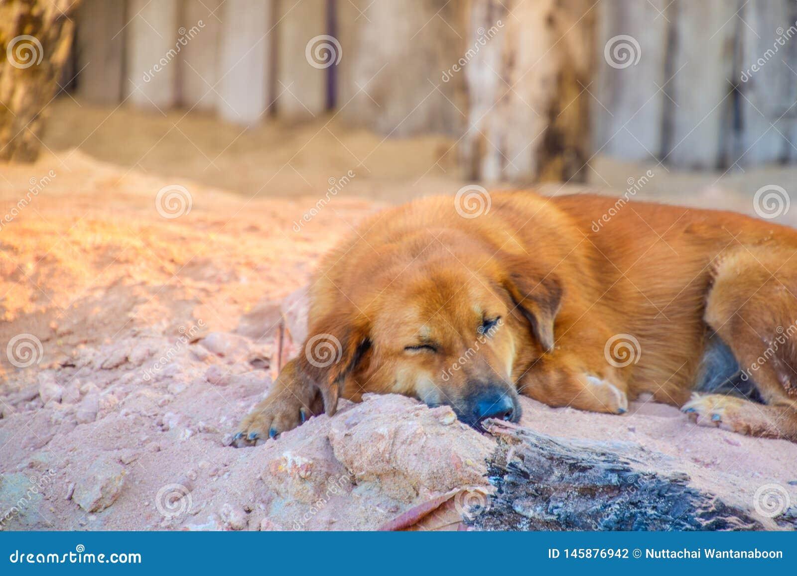 Bruine hondenslaap op de zandduinen in de ochtend
