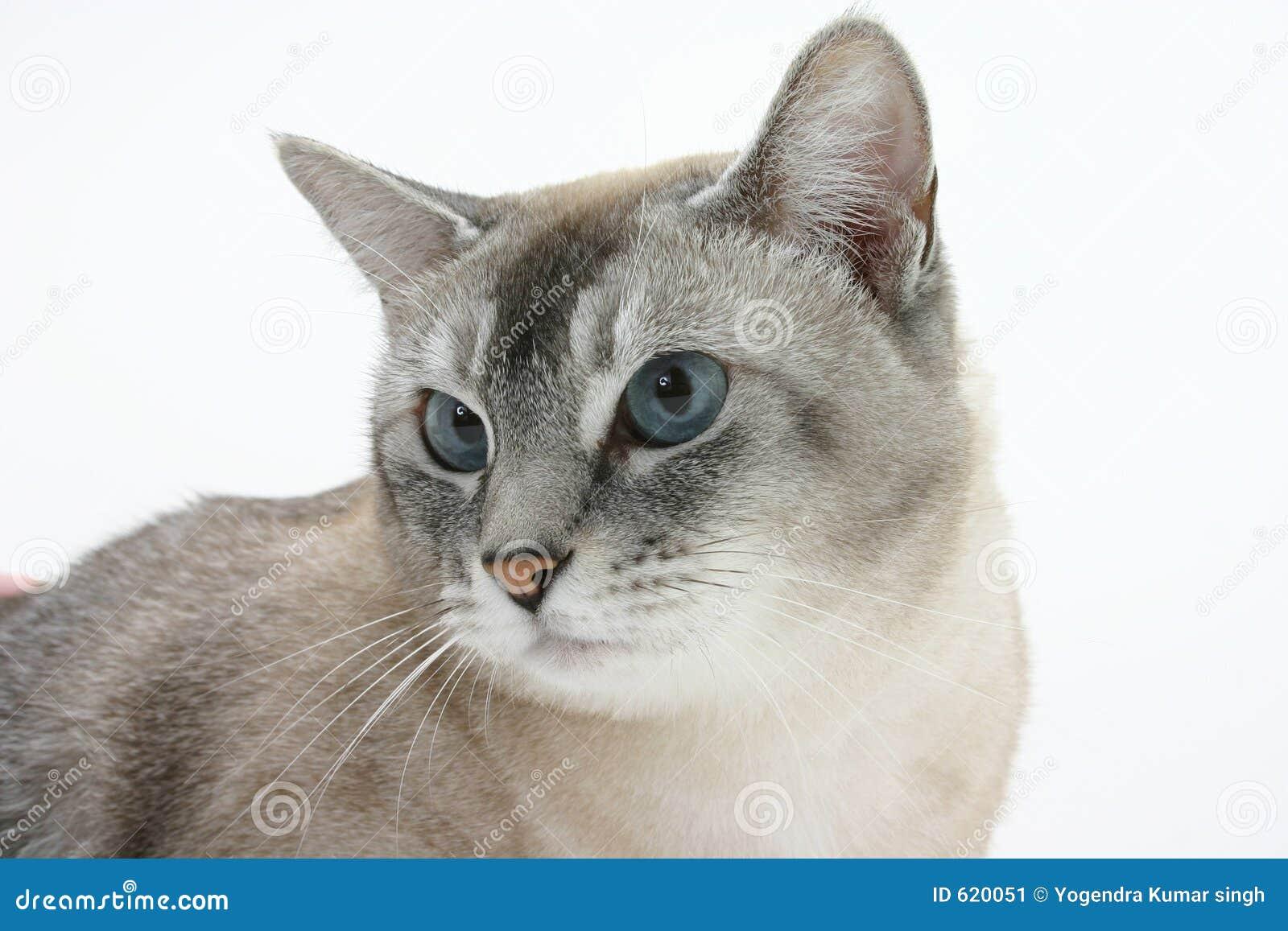 Bruine kat