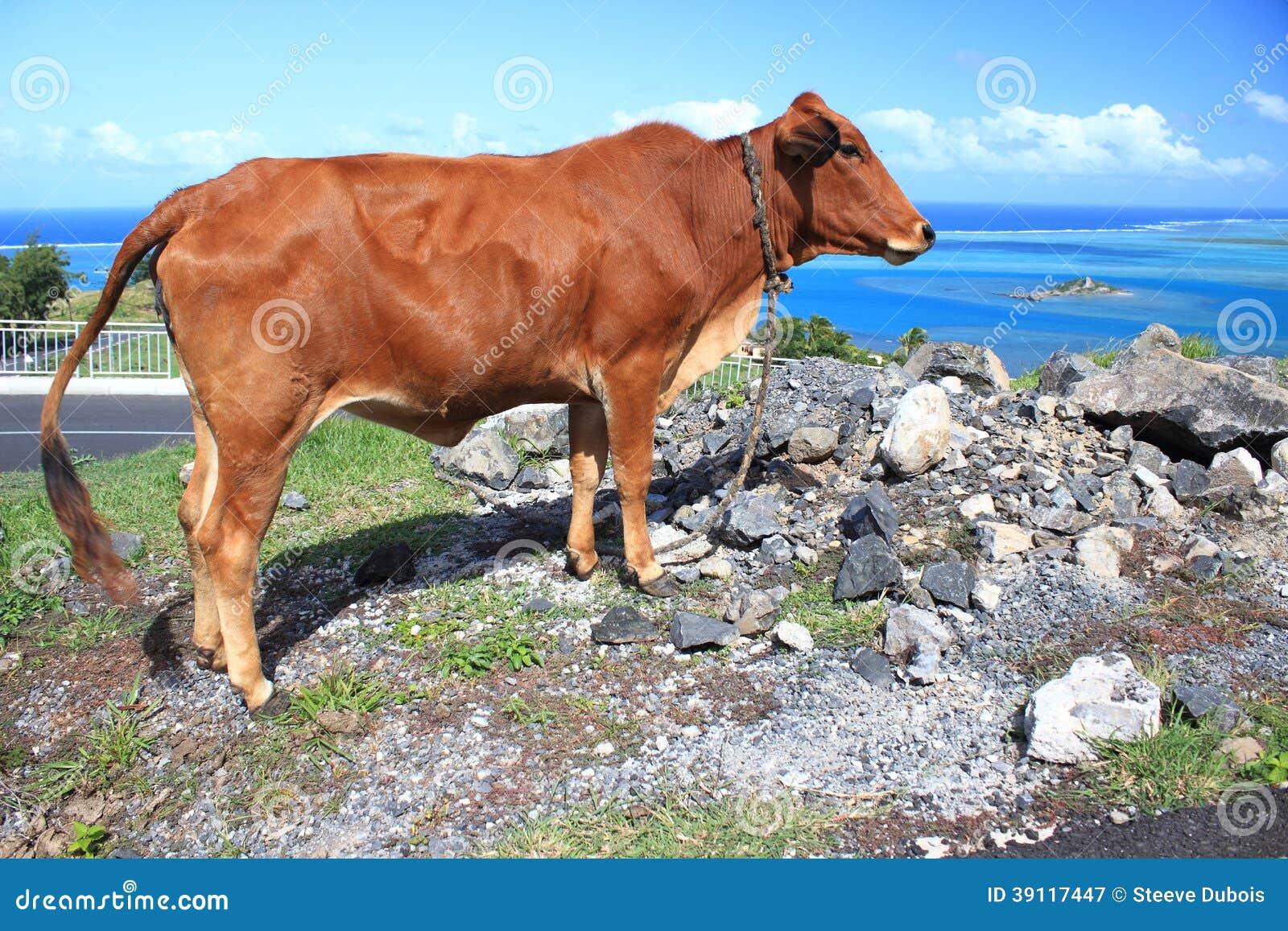 Bruine koe door de kant van de weg