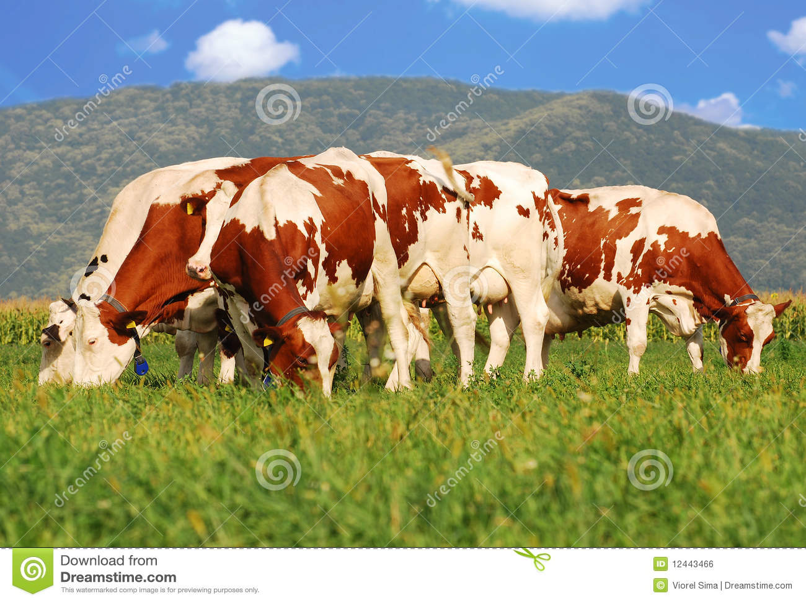 Bruine koeien op grasgebied