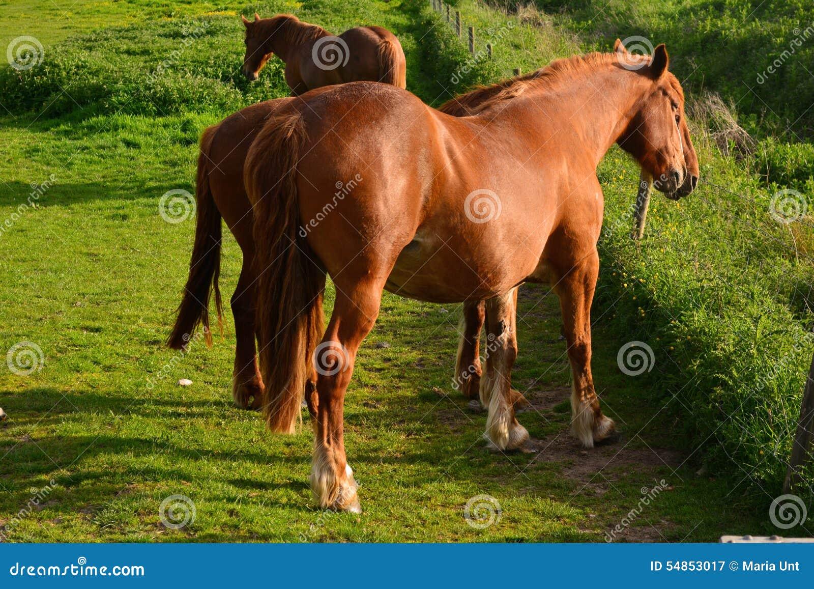Bruine paarden die op een gebied, Norfolk, Baconsthorpe, het Verenigd Koninkrijk weiden