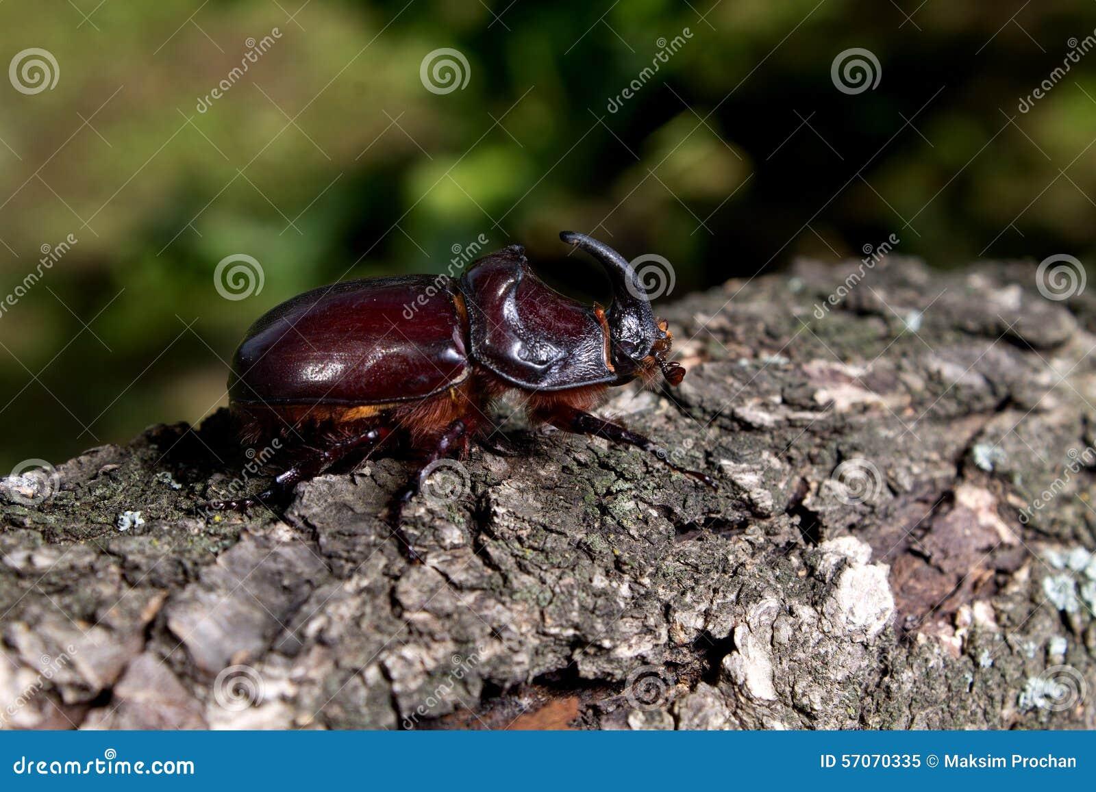 Bruine rinoceroskever die op hout kruipen