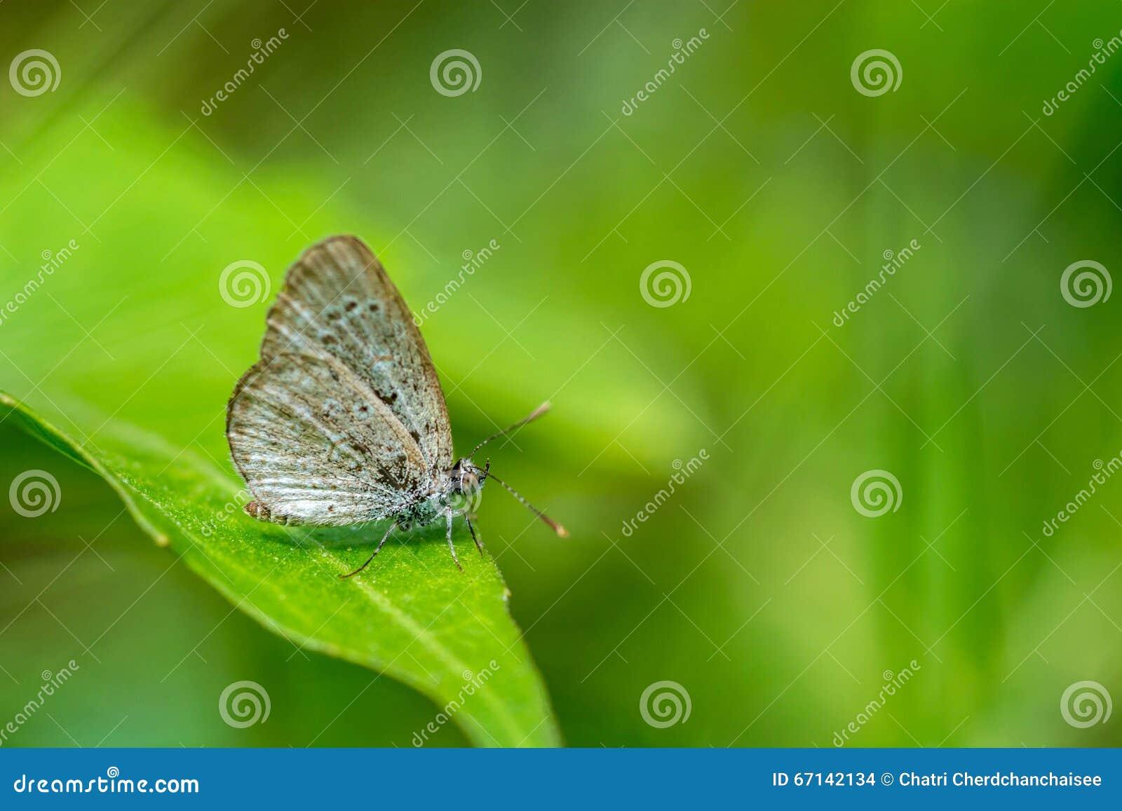 Bruine Vlinder op blad