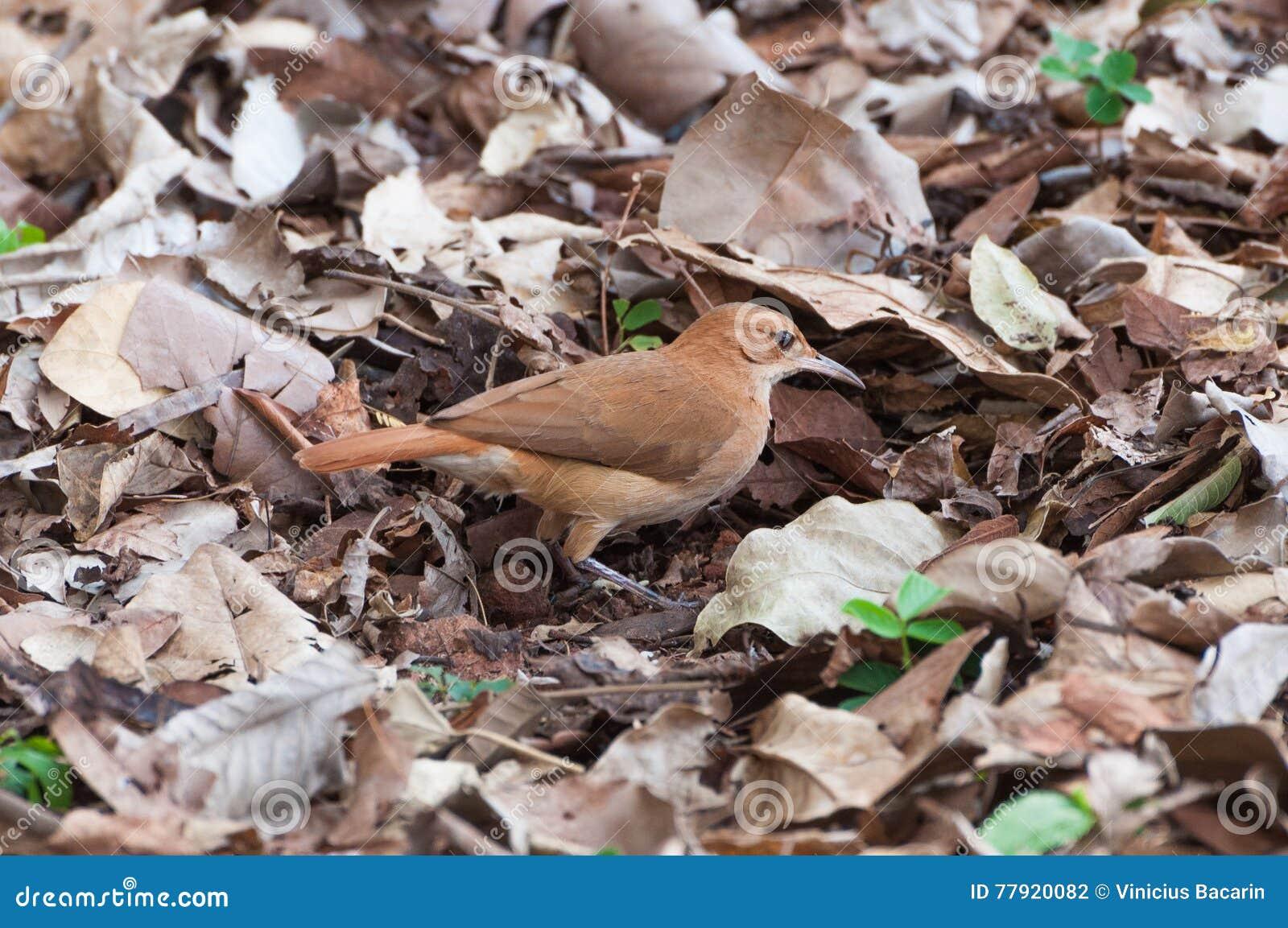 Wonderbaar Bruine Vogel Die Insecten Zoeken Stock Foto - Afbeelding bestaande AB-39