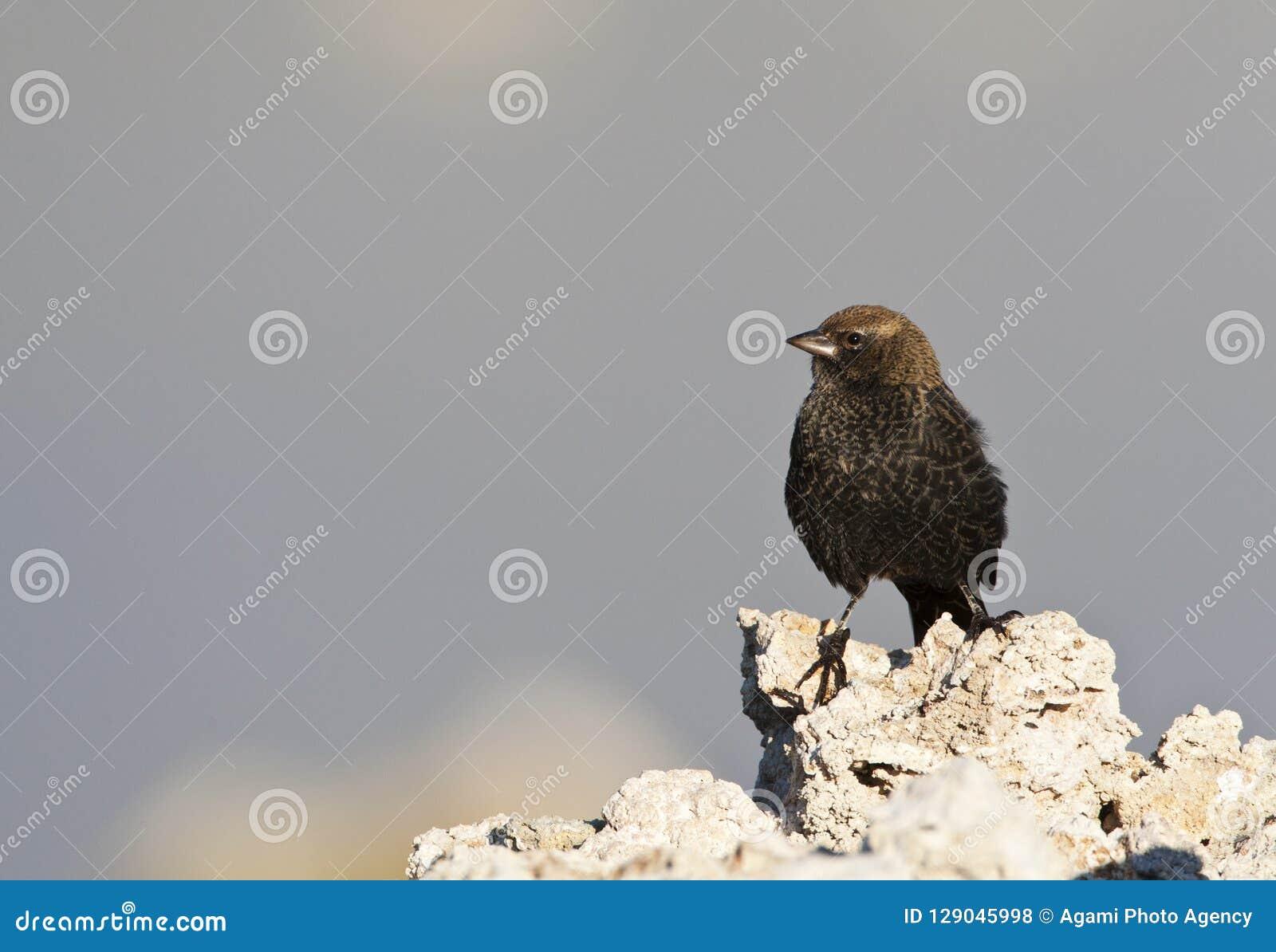 Bruinkopkoevogel Brunt-hövdad Cowbird, Molothrusater
