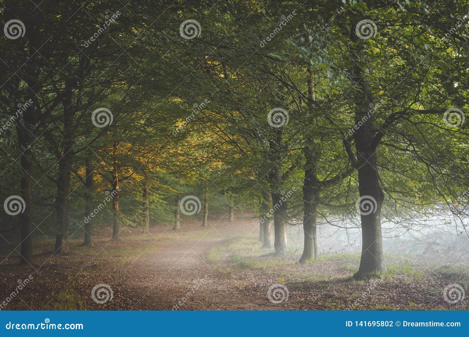 Brume de matin s introduisant sous le feuillage dessus au chemin au Bos d Amerongse avec des feuilles d automne attrapant la prem