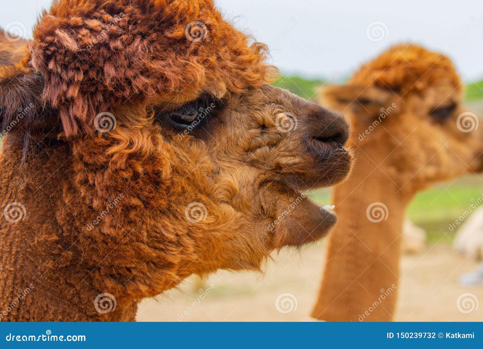 Brun alpacahuvudstående med den öppna munnen