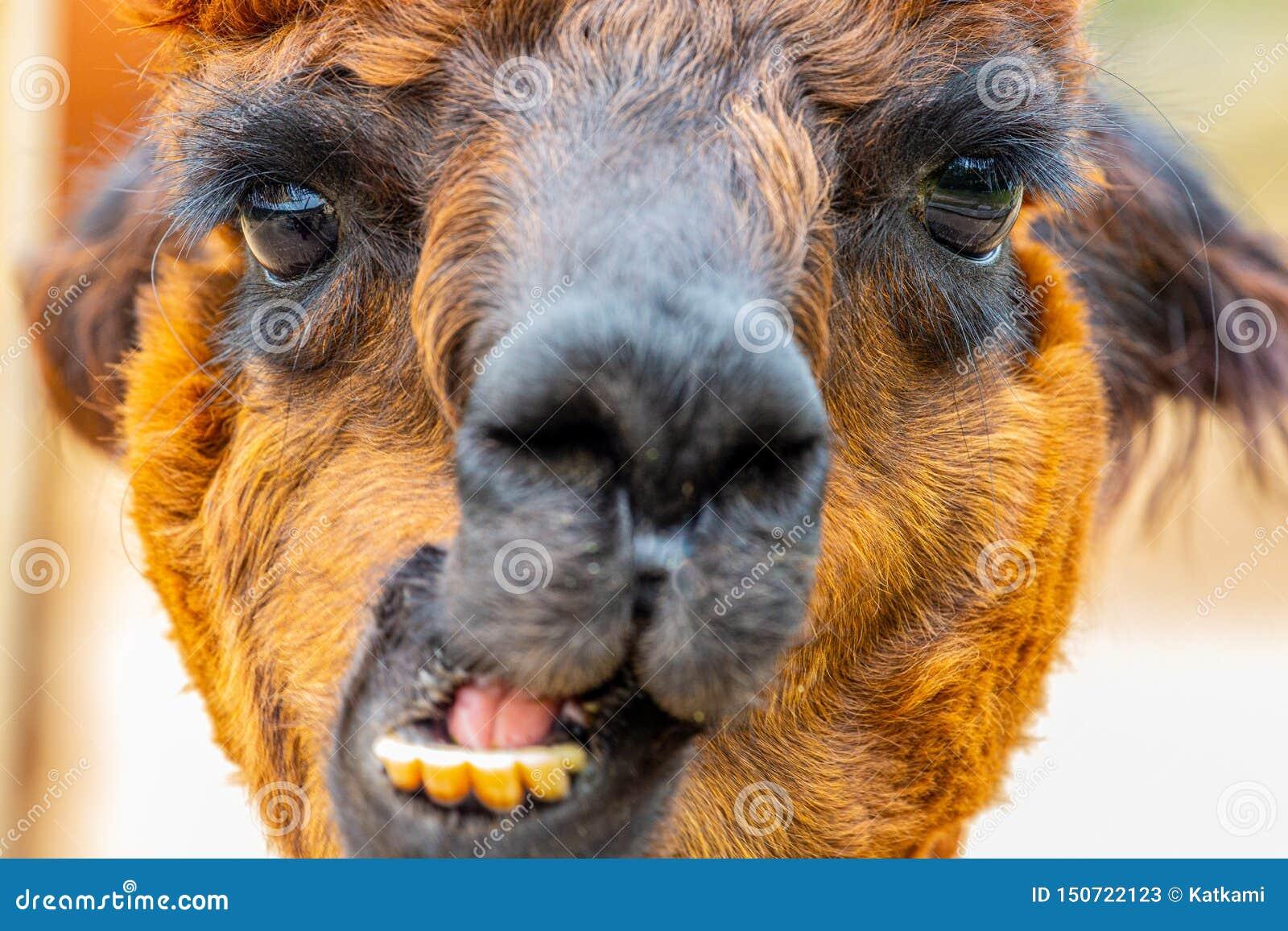 Brun alpacahuvudstående med käkerörelse