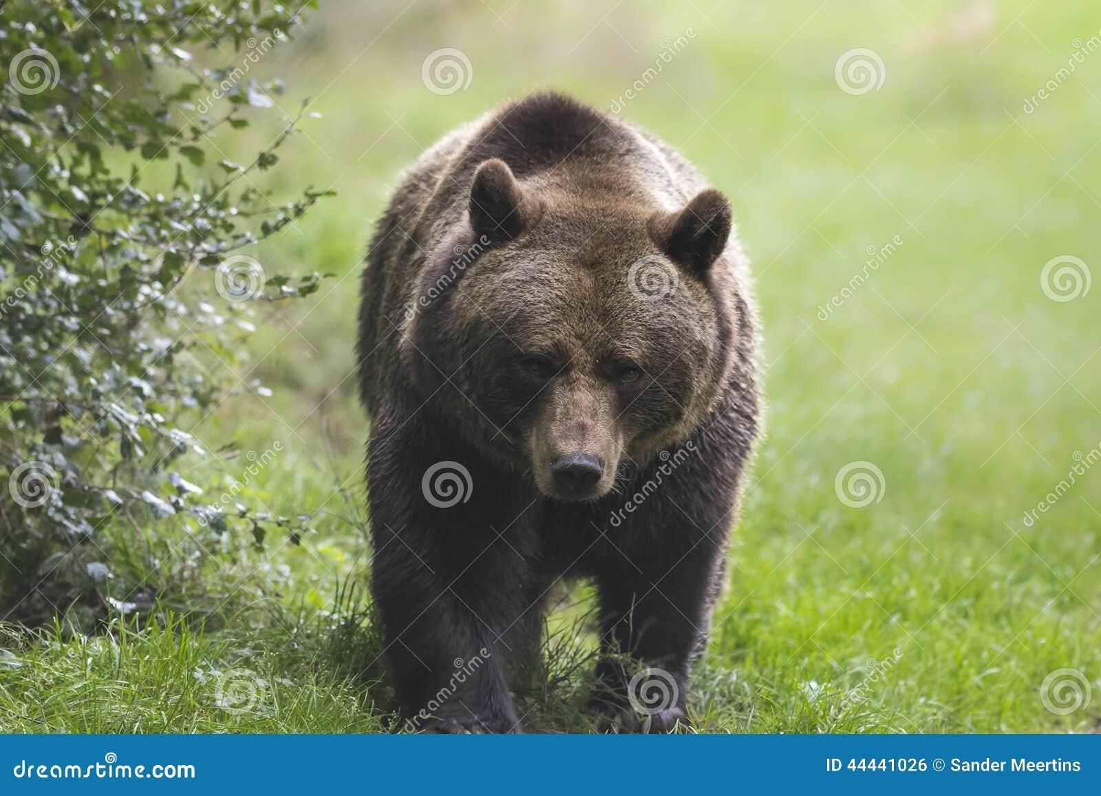 Brun björn
