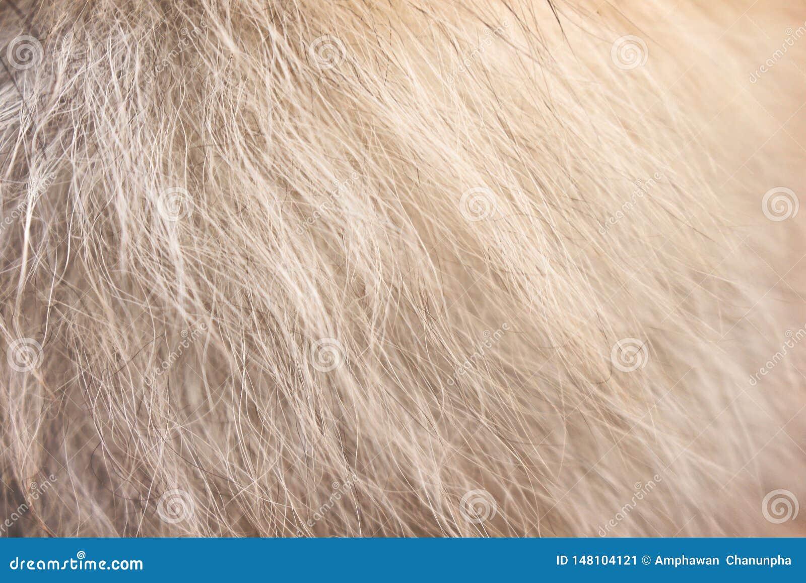 Brun clair avec la texture pomeranian pelucheuse blanche de modèles de fourrure de chien pour le fond