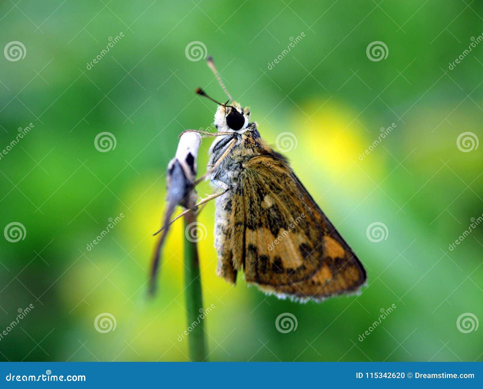 Brun fjäril som vilar på ett gräs