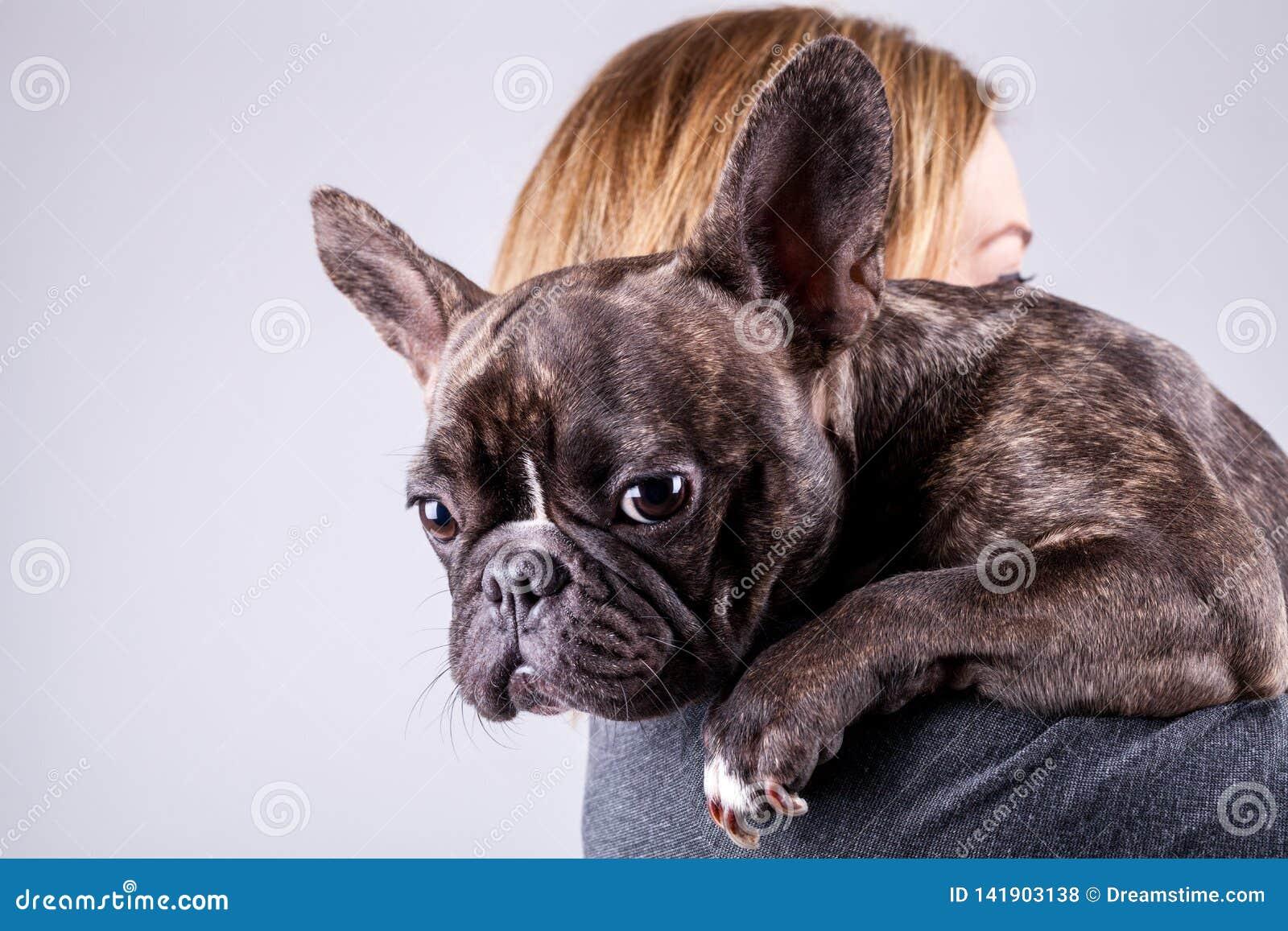 Brun fransk bulldogg som ligger på ägares skuldra