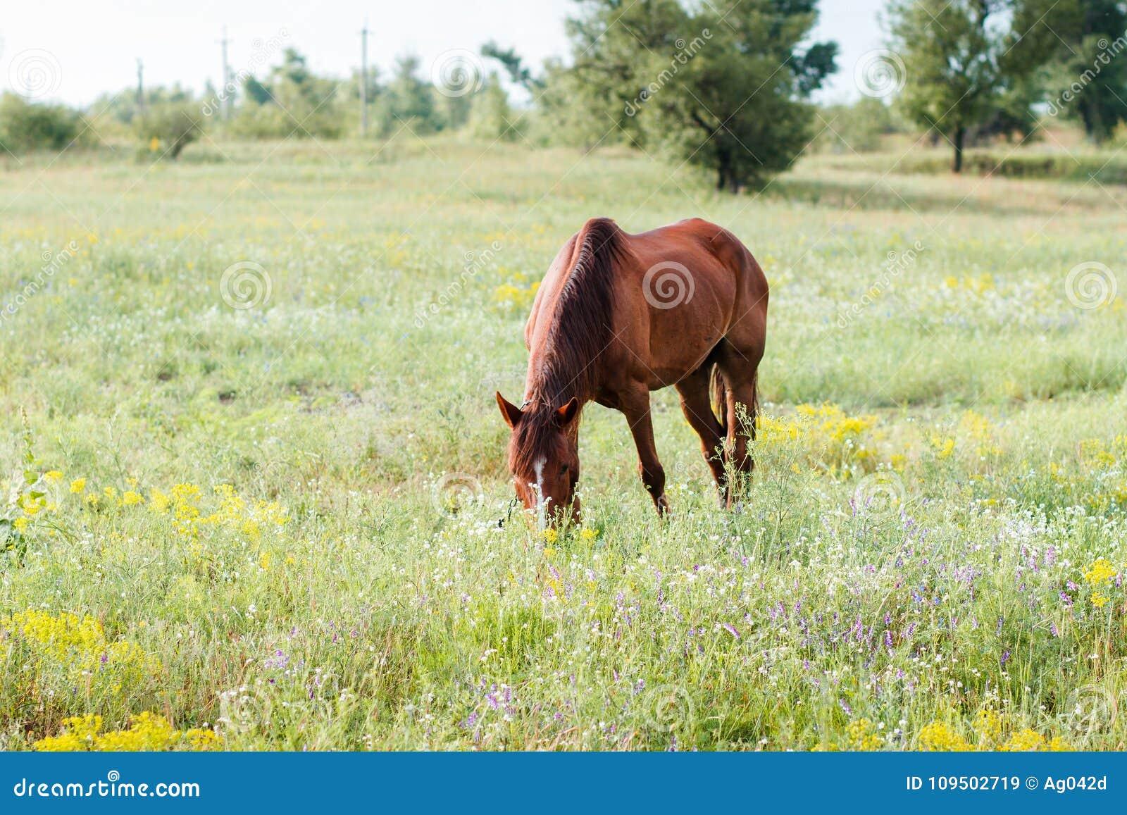 Brun häst för ätafältgräs