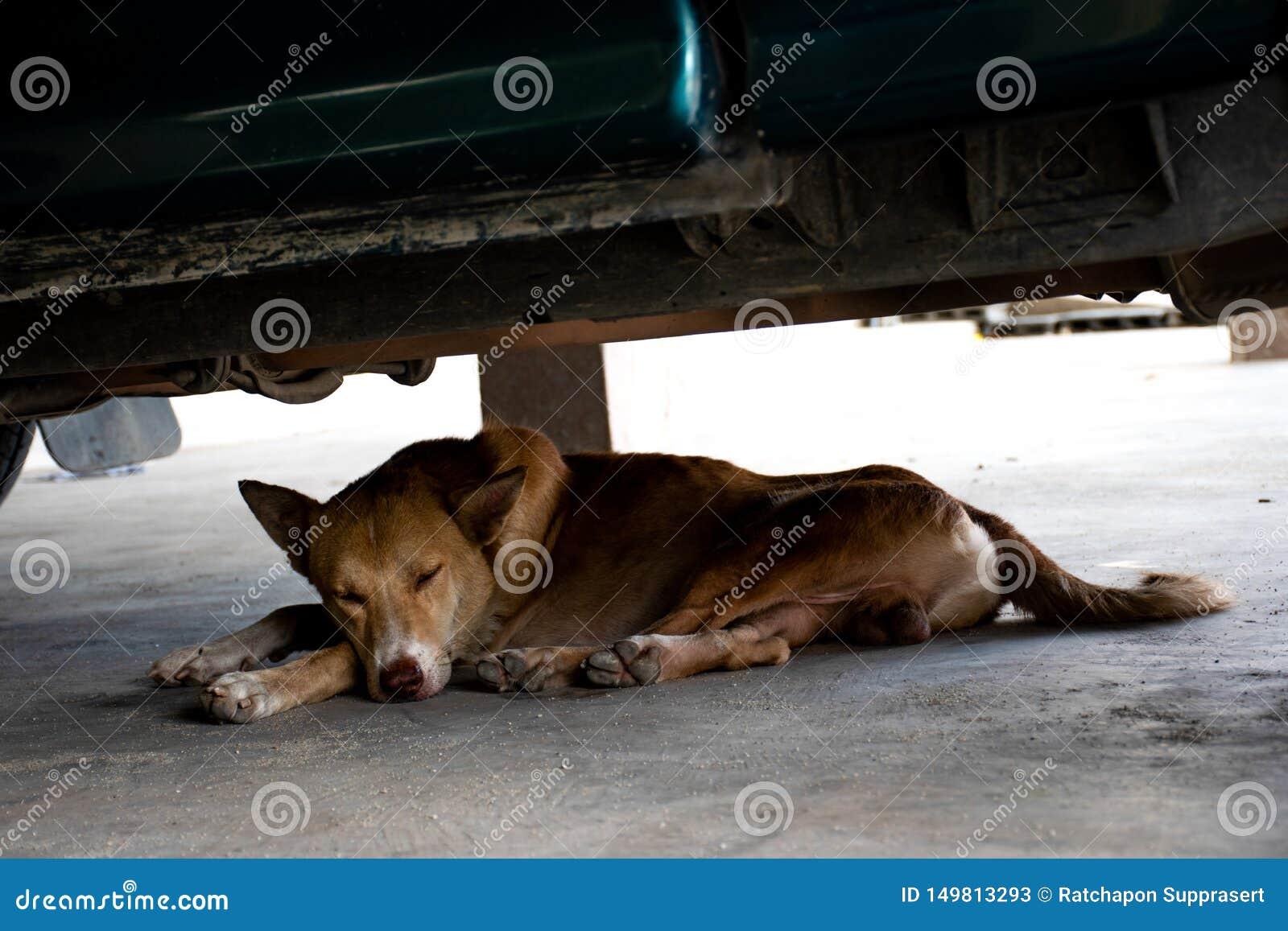 Brun hund som ligger under bilen