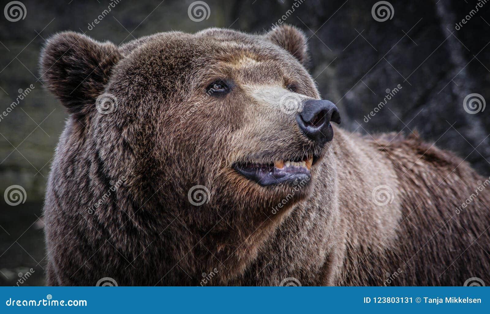 Brun manlig för björn