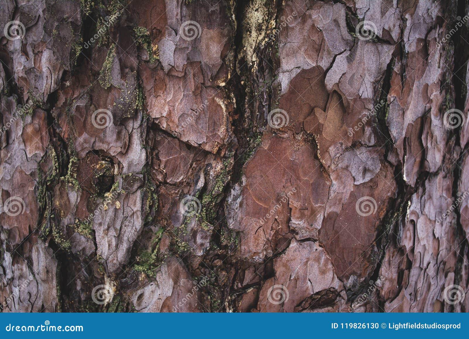 Brun och purpurfärgad för trädskäll bakgrund för sprucken buse
