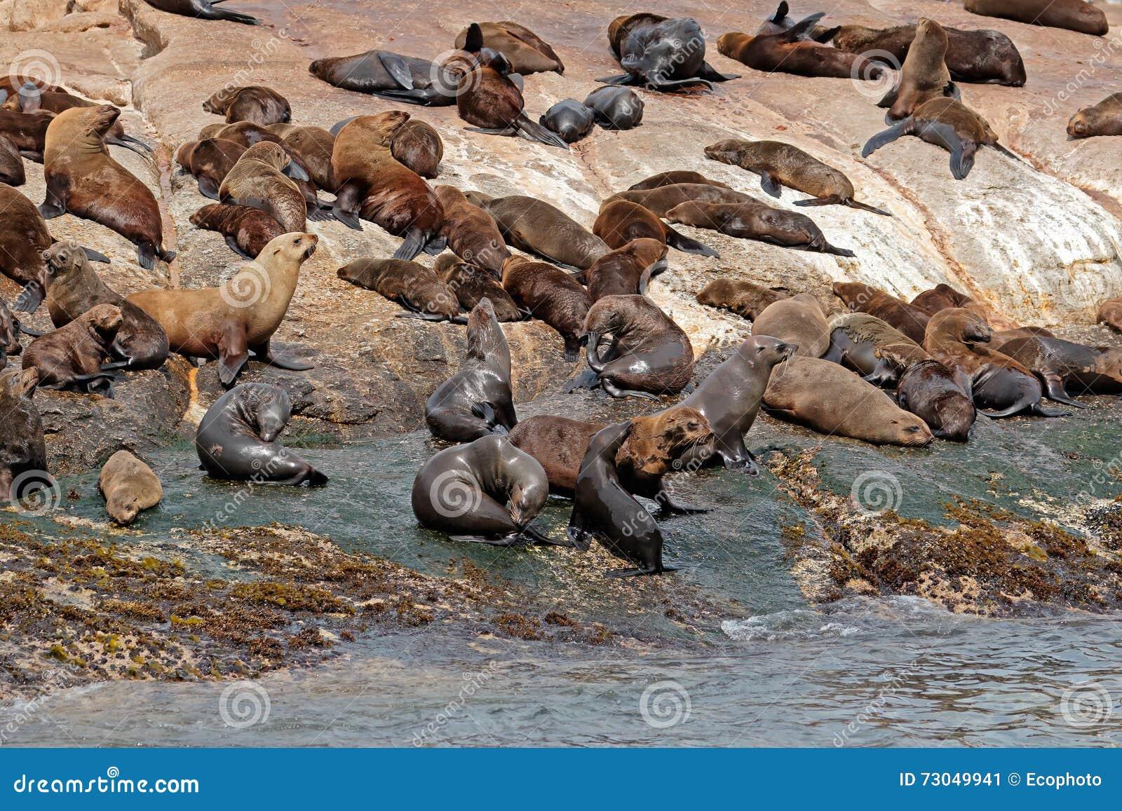 Brun pälsskyddsremsakoloni