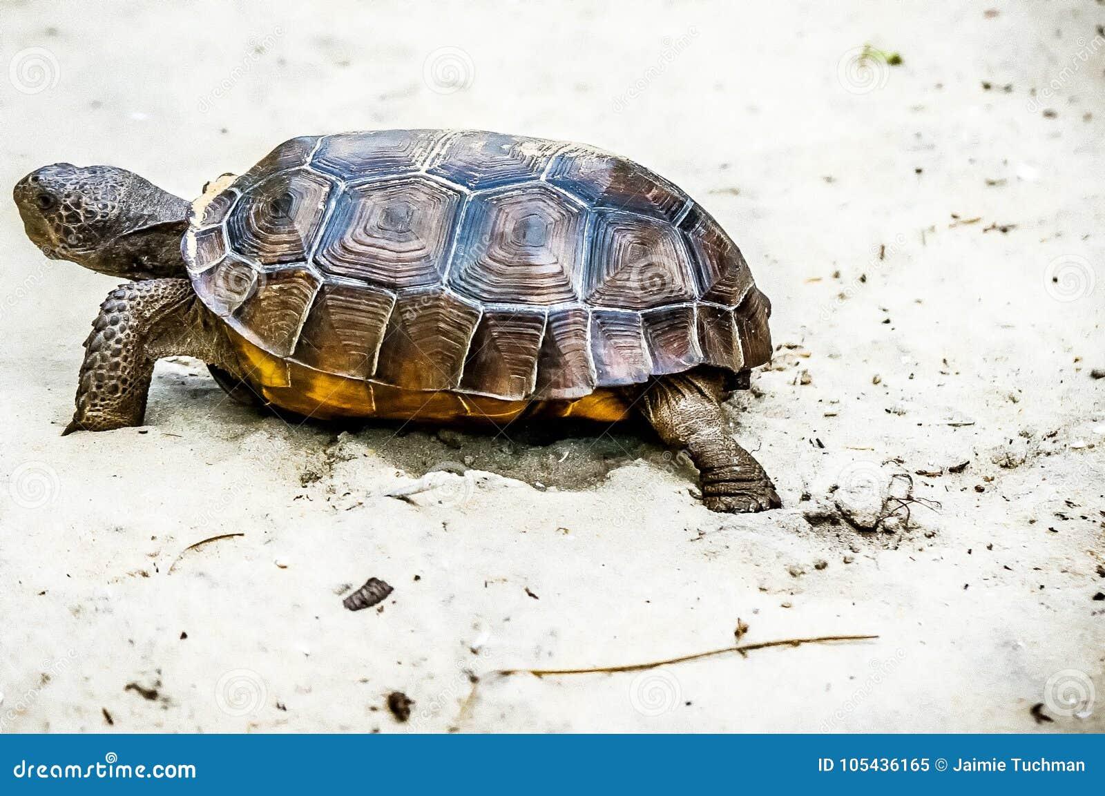 Brun sköldpadda för gophermichael foto r