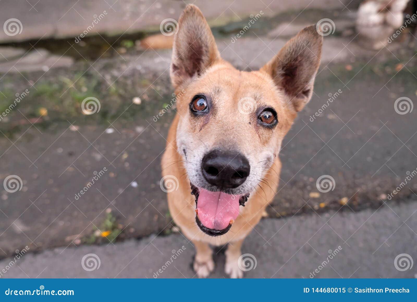 Brun thaïlandais de chien très mignon et beau