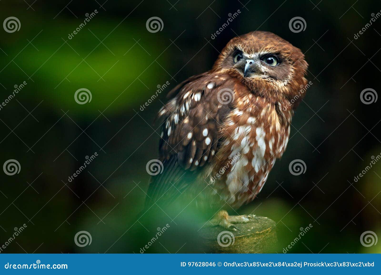 Brun wood uggla, Strixleptogrammica, sällsynt fågel från Asien Malaysia härlig uggla i naturskoglivsmiljön Fågel från Malaysia