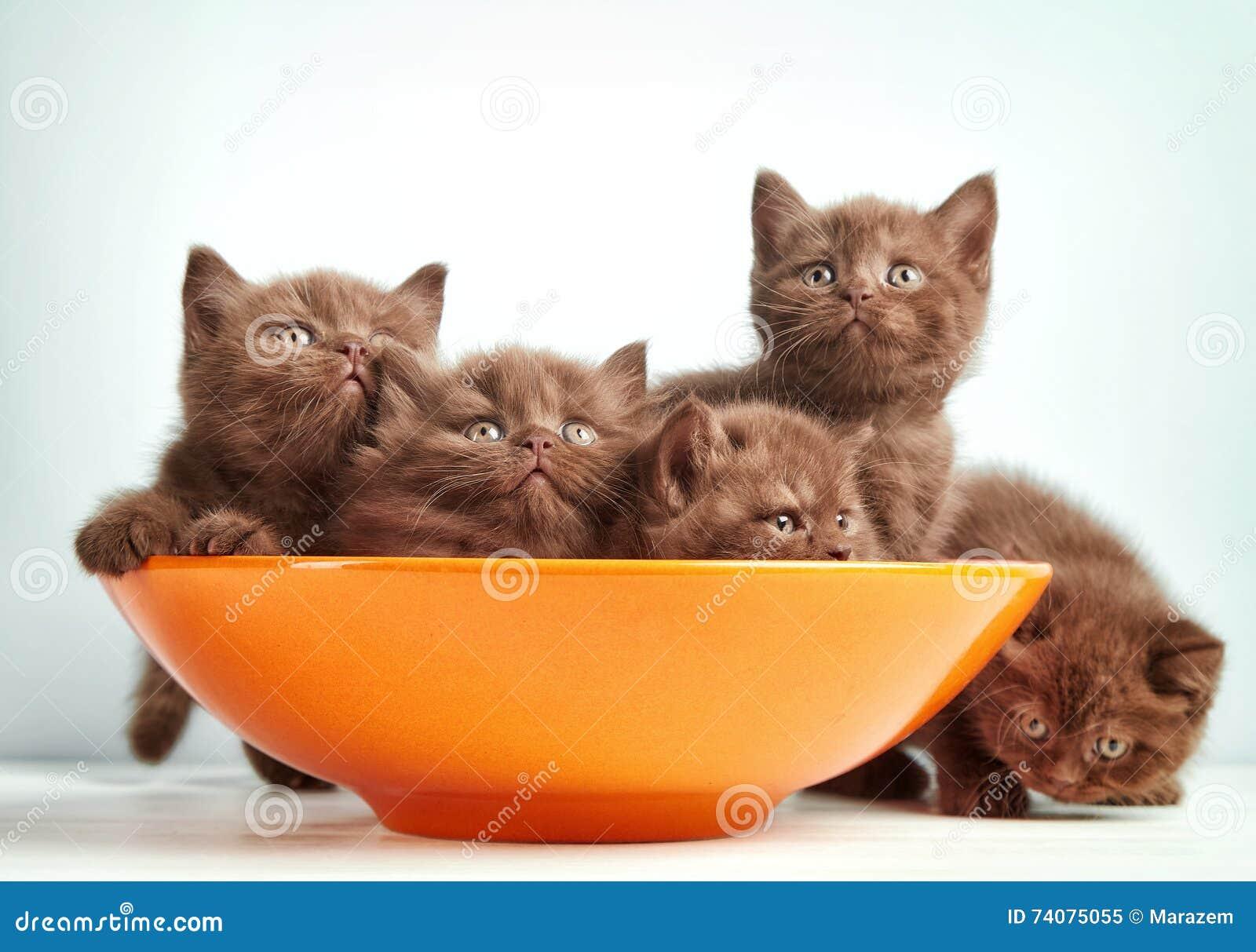 Bruna brittiska kattungar