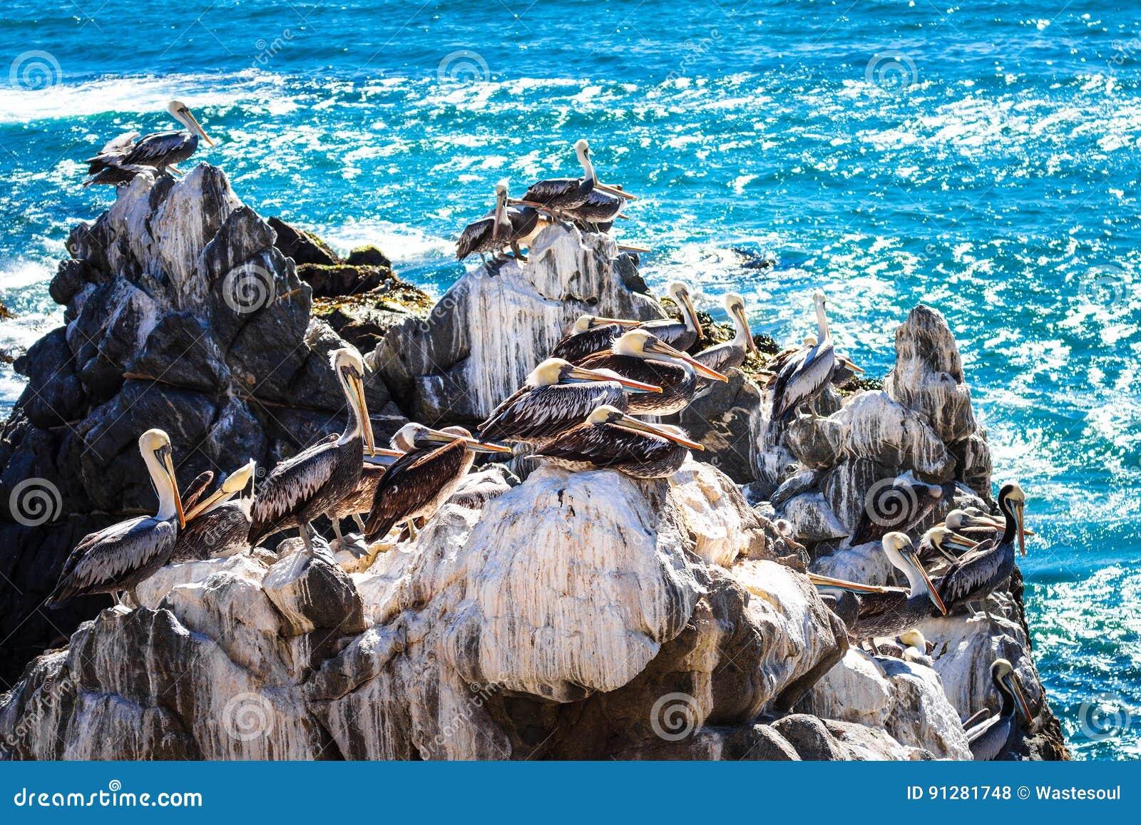 Bruna pelikan som vilar på, vaggar i Chile