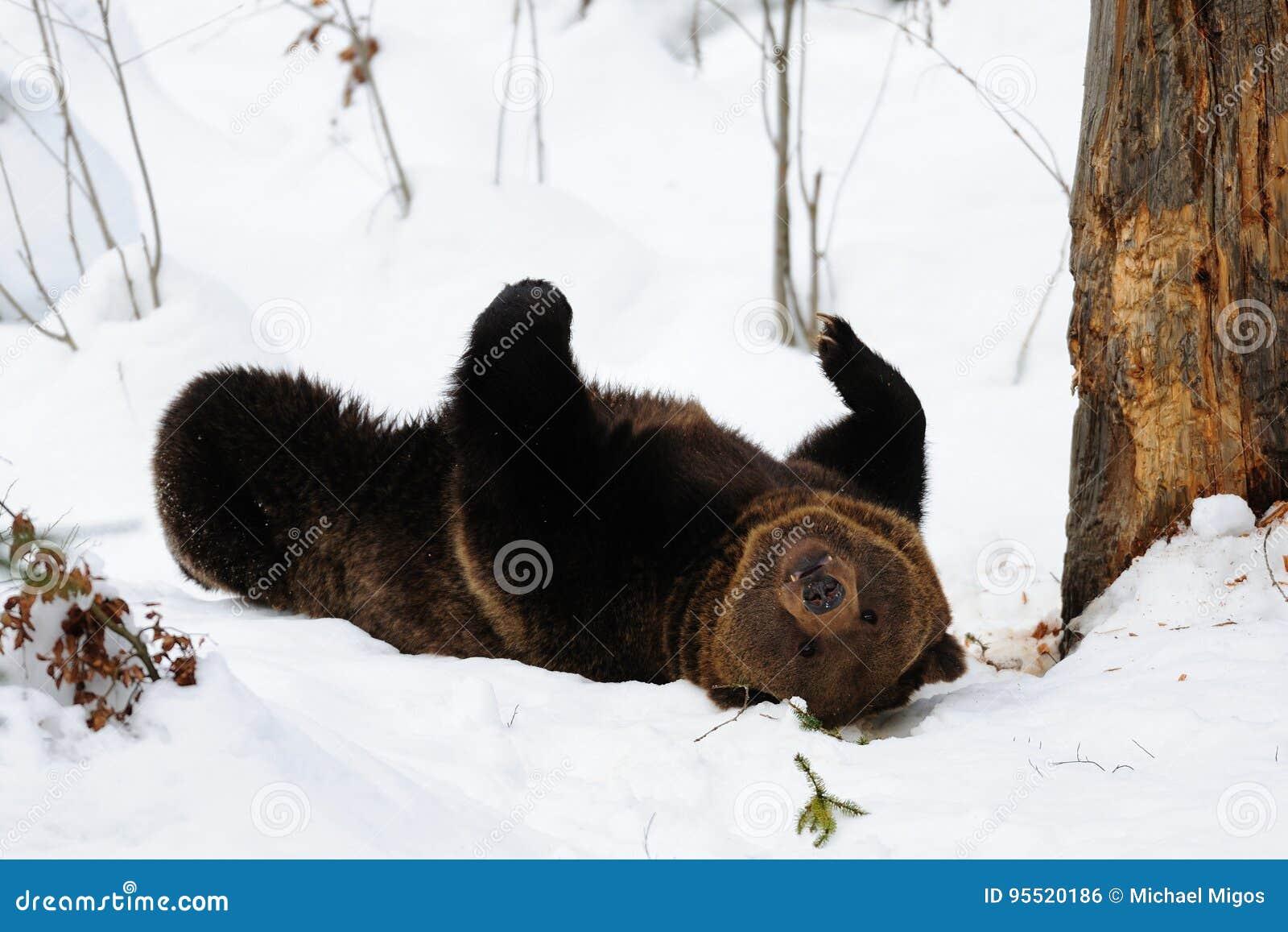 Brunbjörn som spelar i snö