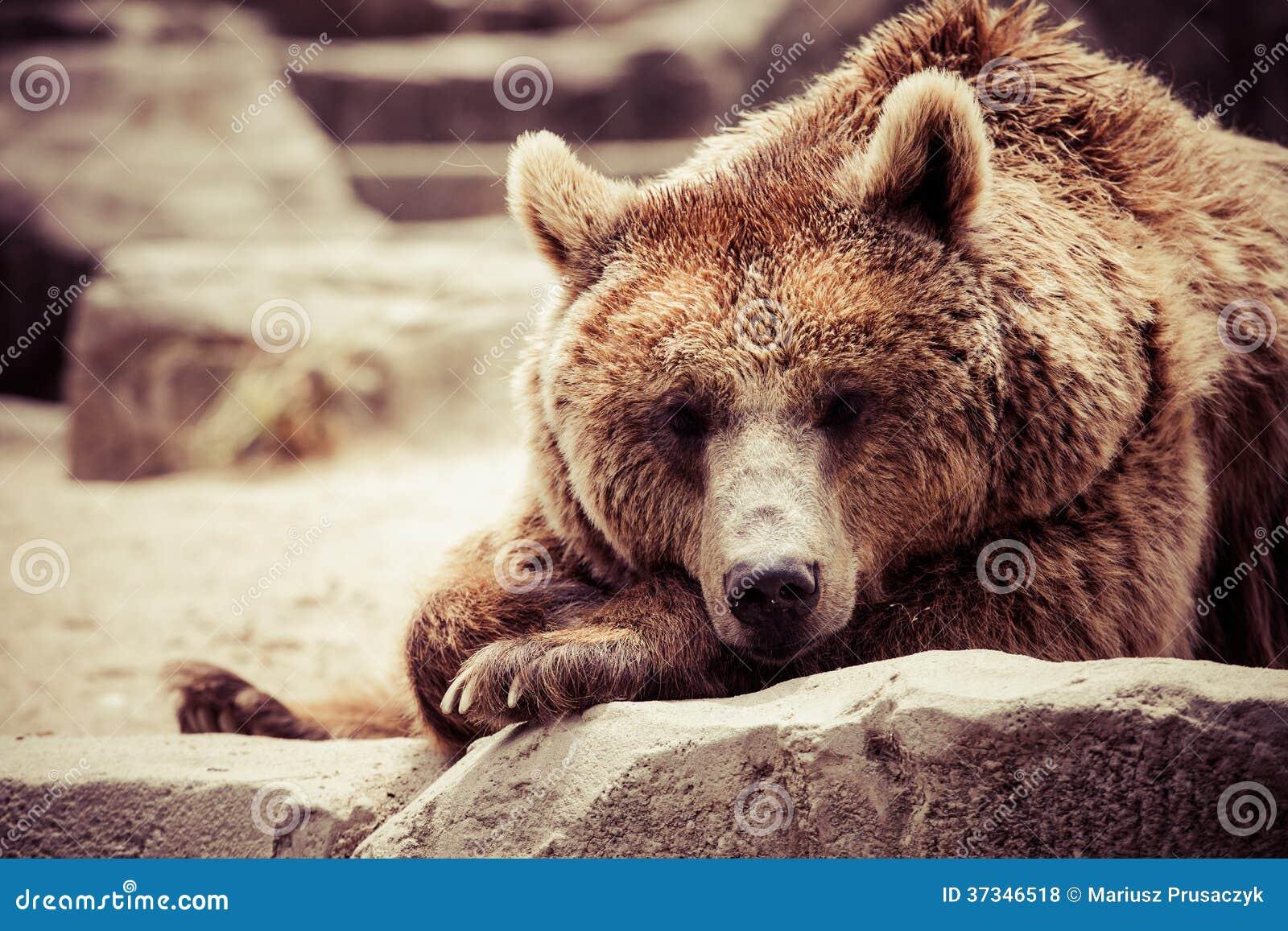 Brunbjörnen i ett roligt poserar