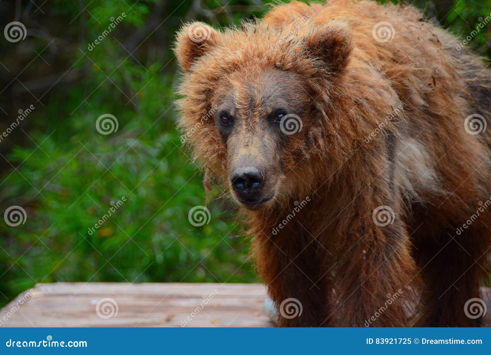 Brunbjörnen kom till folket