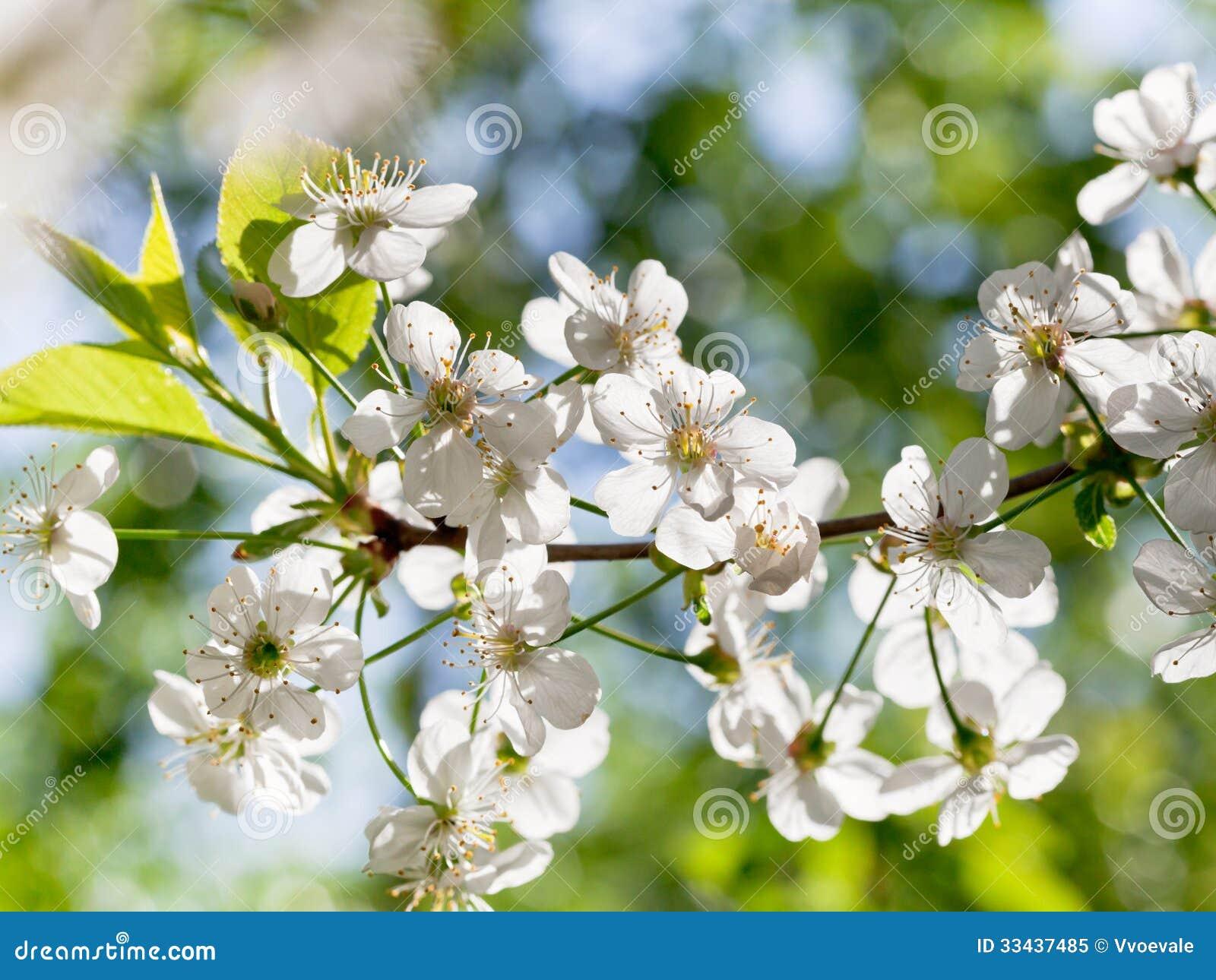 brunch dell 39 albero con i fiori bianchi della molla