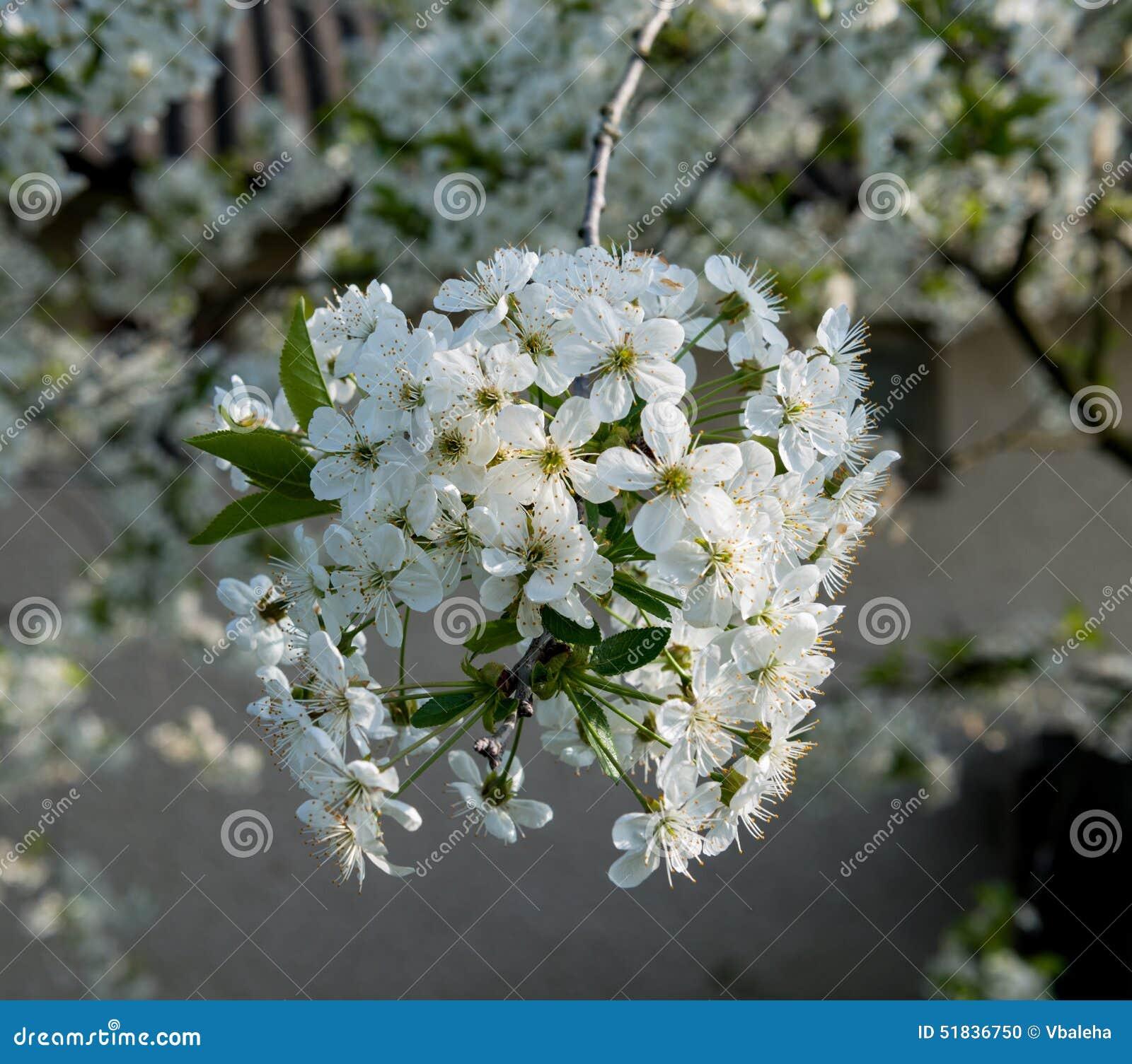 Albero Con Fiori Bianchi brunch sbocciante dell'albero con i fiori bianchi fotografia