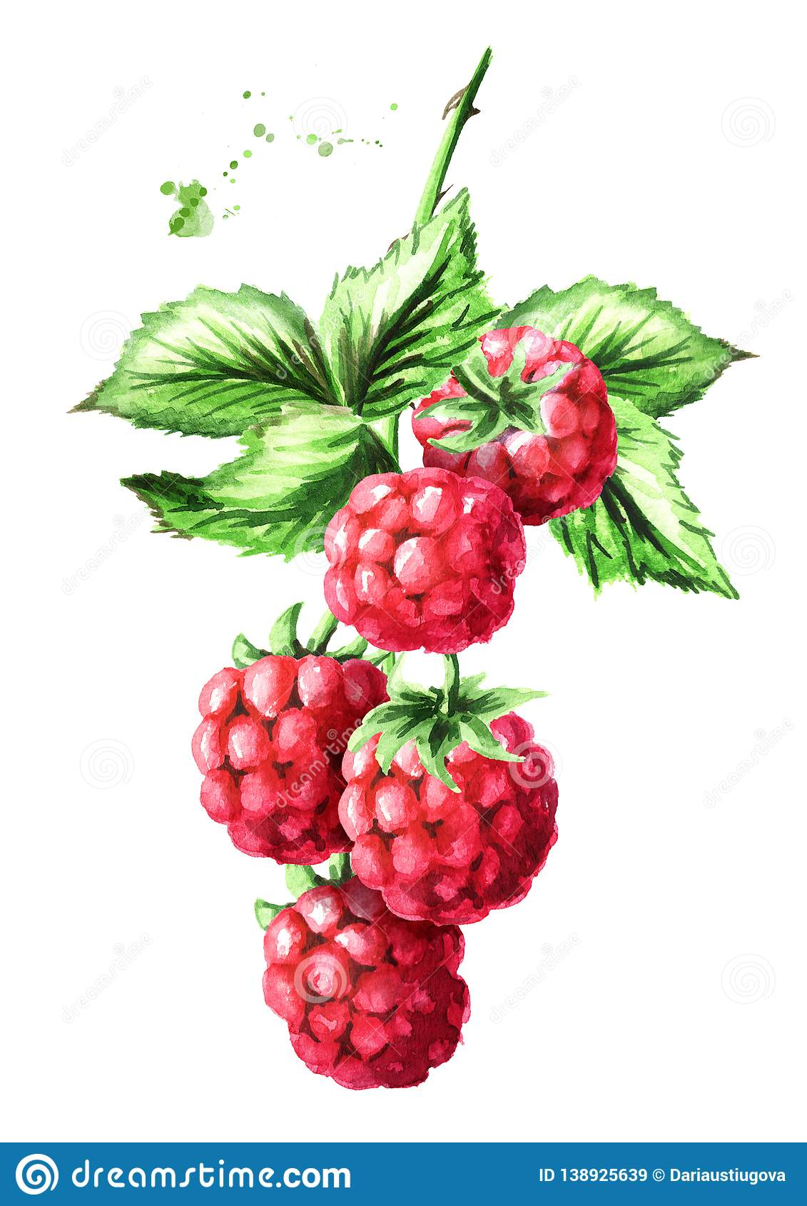 Brunch of two ripe raspberries with green leaves. Watercolor hand drawn illustration isolated on white background.