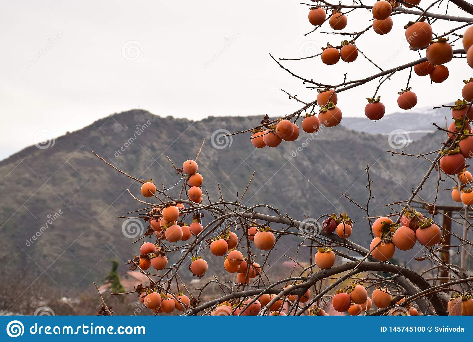 Persimmon tree in the mountains