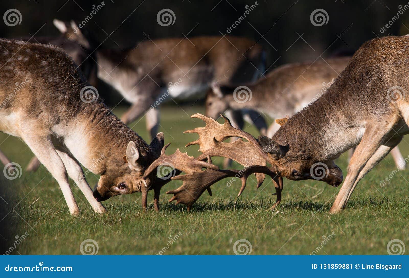 Brunstiga i träda Deers i Phoenix parkerar
