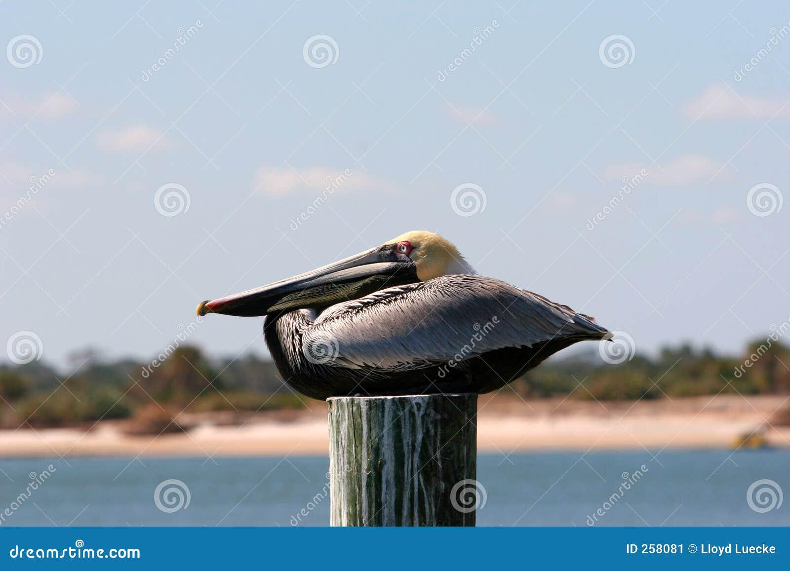 Brunt vila för pelikan