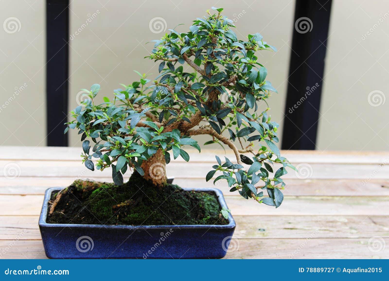 Brush Cherry Bonsai Stock Image Image Of Nature Green 78889727
