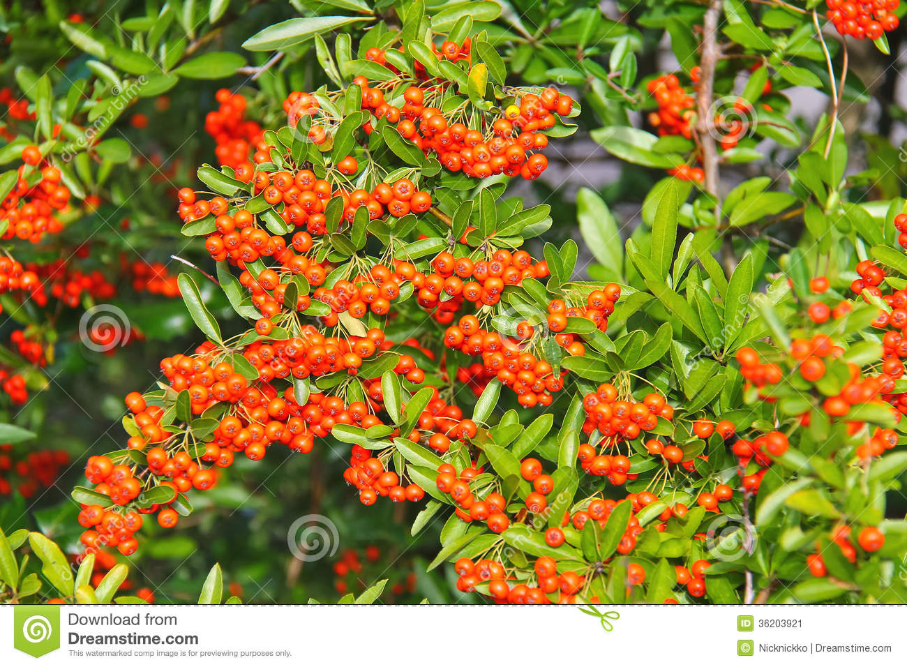 Brush Of Red Berries Pyracantha Stock Image Image 36203921