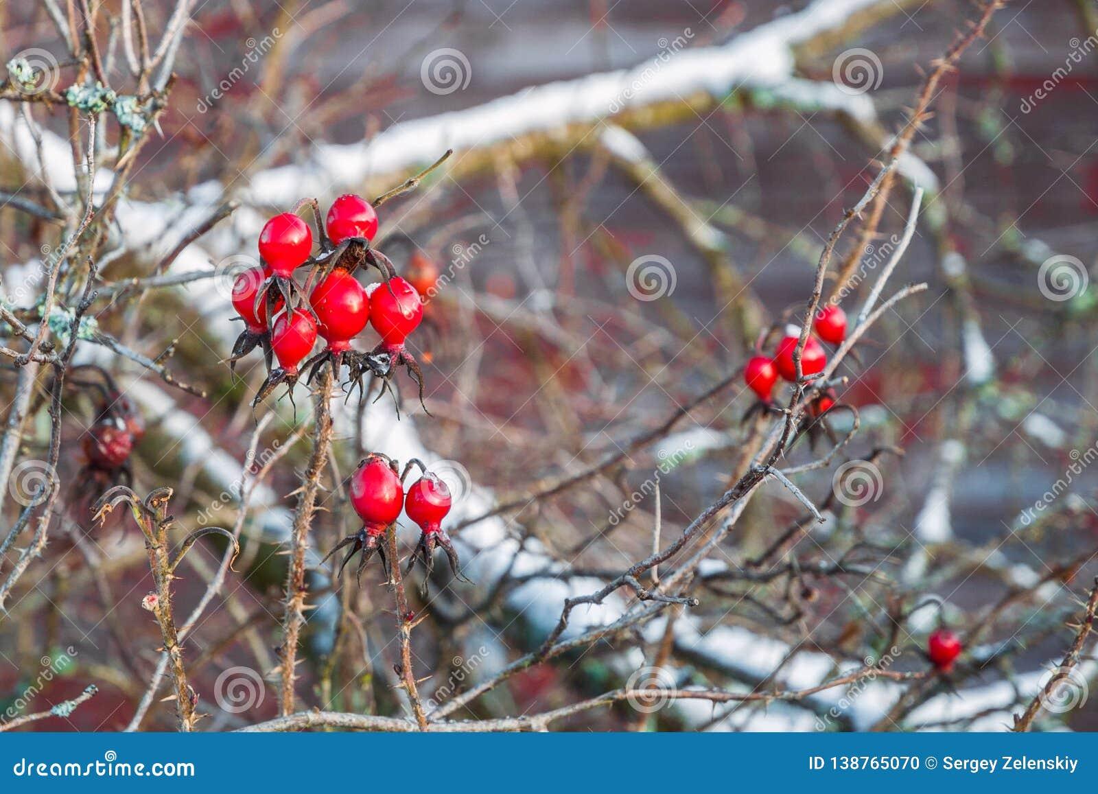 Brush of rose berry under snowdrifts